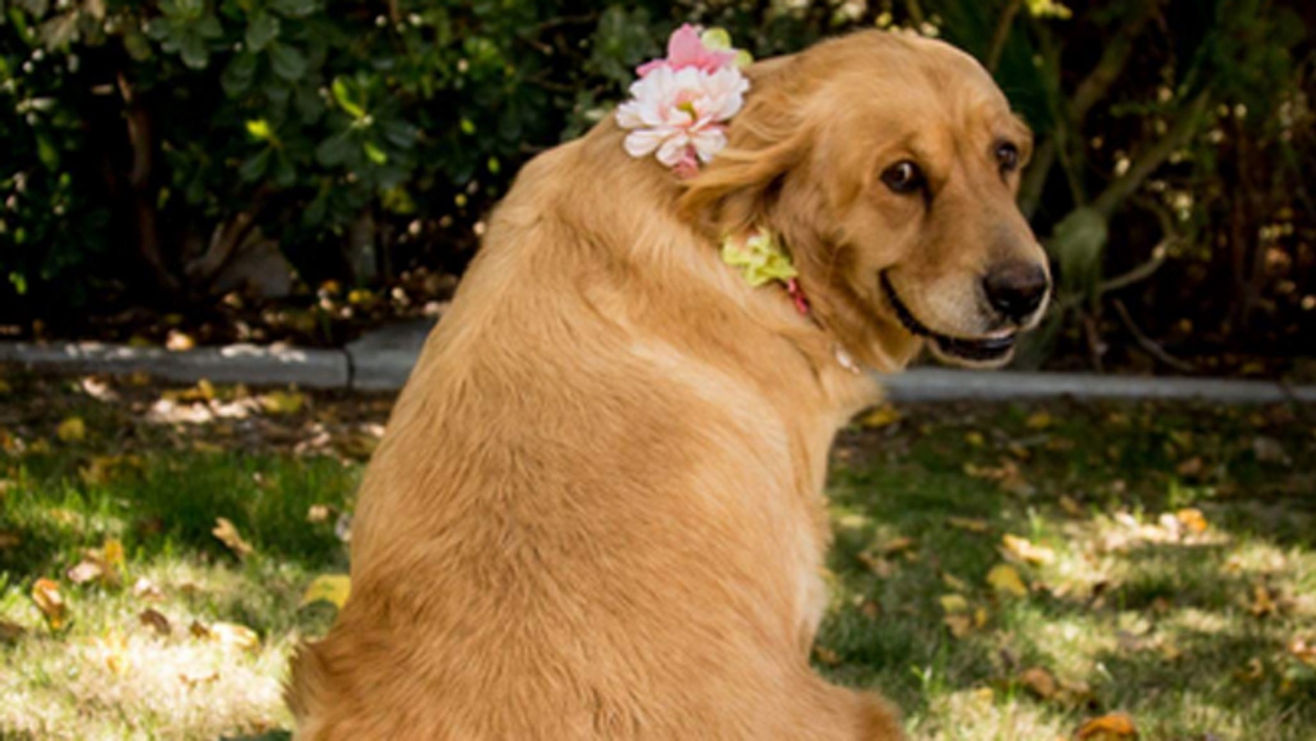 Chanel, a 5-year-old golden retriever, was featured in a maternity photoshoot.