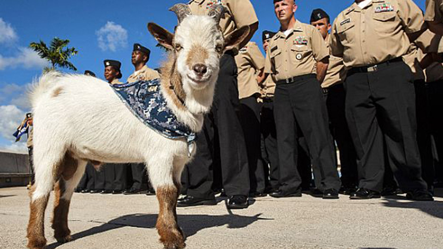 Aug. 6, 2013: Charlie the goat is shown standing by chief petty officer (CPO) selectees at Joint Base Pearl Harbor-Hickam.