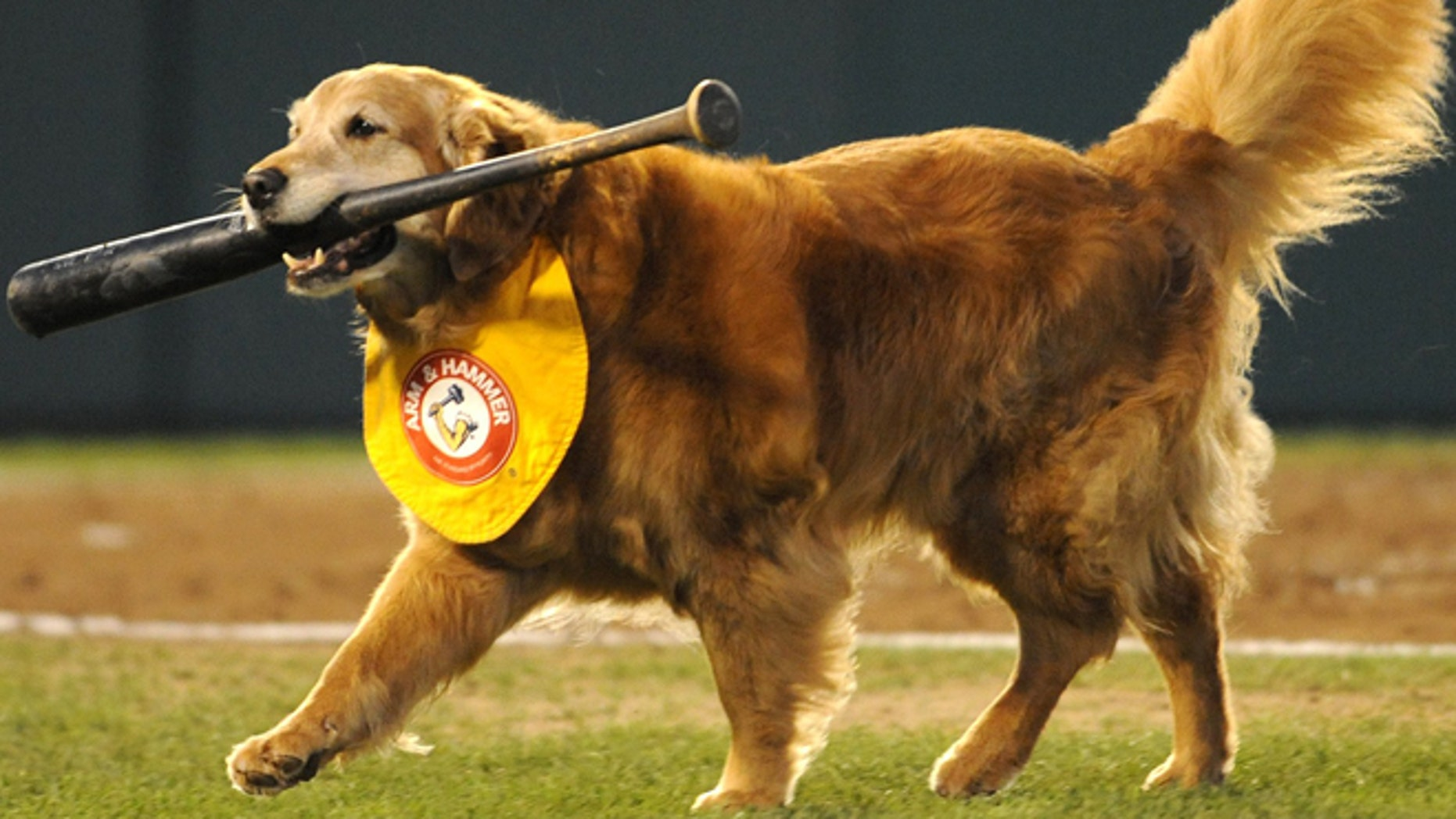 Chase, seen last year, walks with a bat during a Trenton Thunder baseball game.