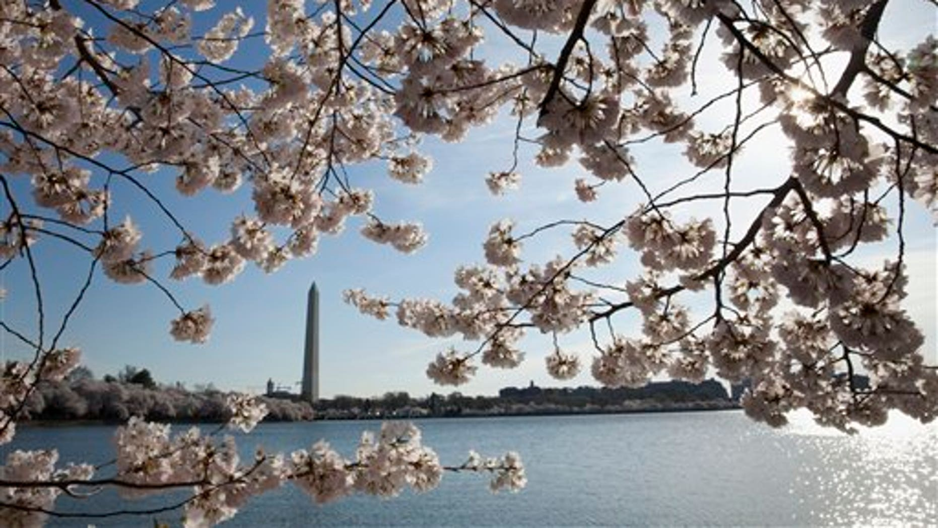 In this April 11, 2015, the Washington Monument is seen through cherry blossoms across the Tidal Basin Saturday in Washington.