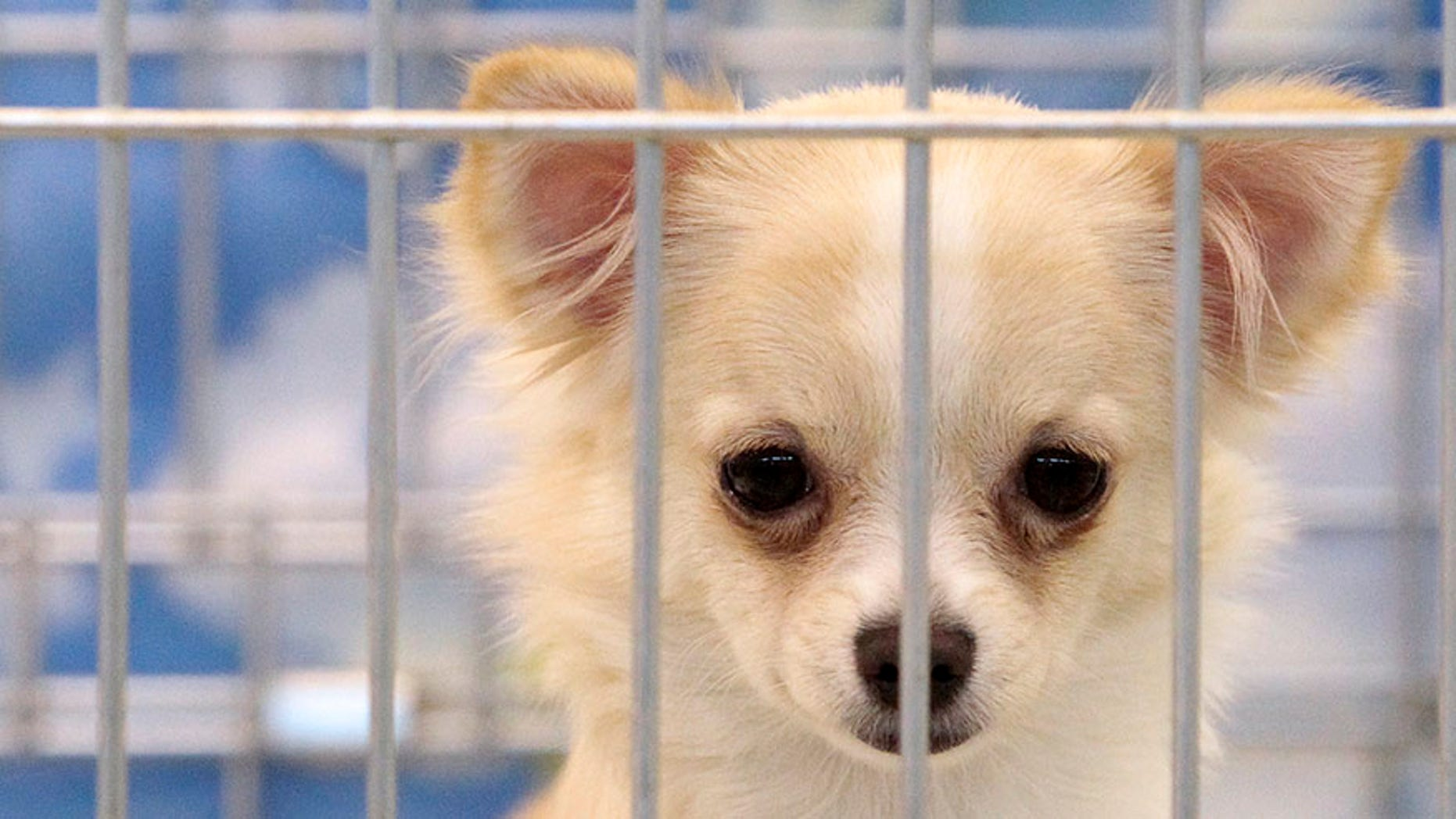 A Chihuahua looks on inside a cage during a dog show in Moscow, December 19, 2010.  REUTERS/Alexander Natruskin  (RUSSIA - Tags: ANIMALS SOCIETY) - RTXVVSJ