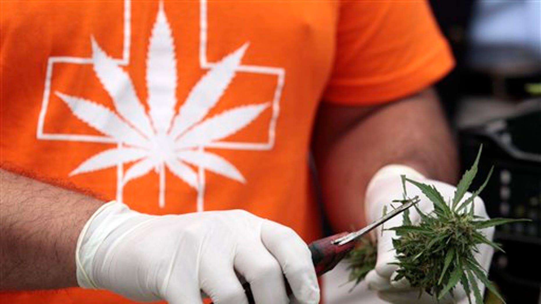 A man harvests a marijuana plant during a press presentation of a legal medicinal marijuana in the La Florida municipality of Santiago, Chile, Tuesday, April 7, 2015. (AP Photo/Luis Hidalgo)