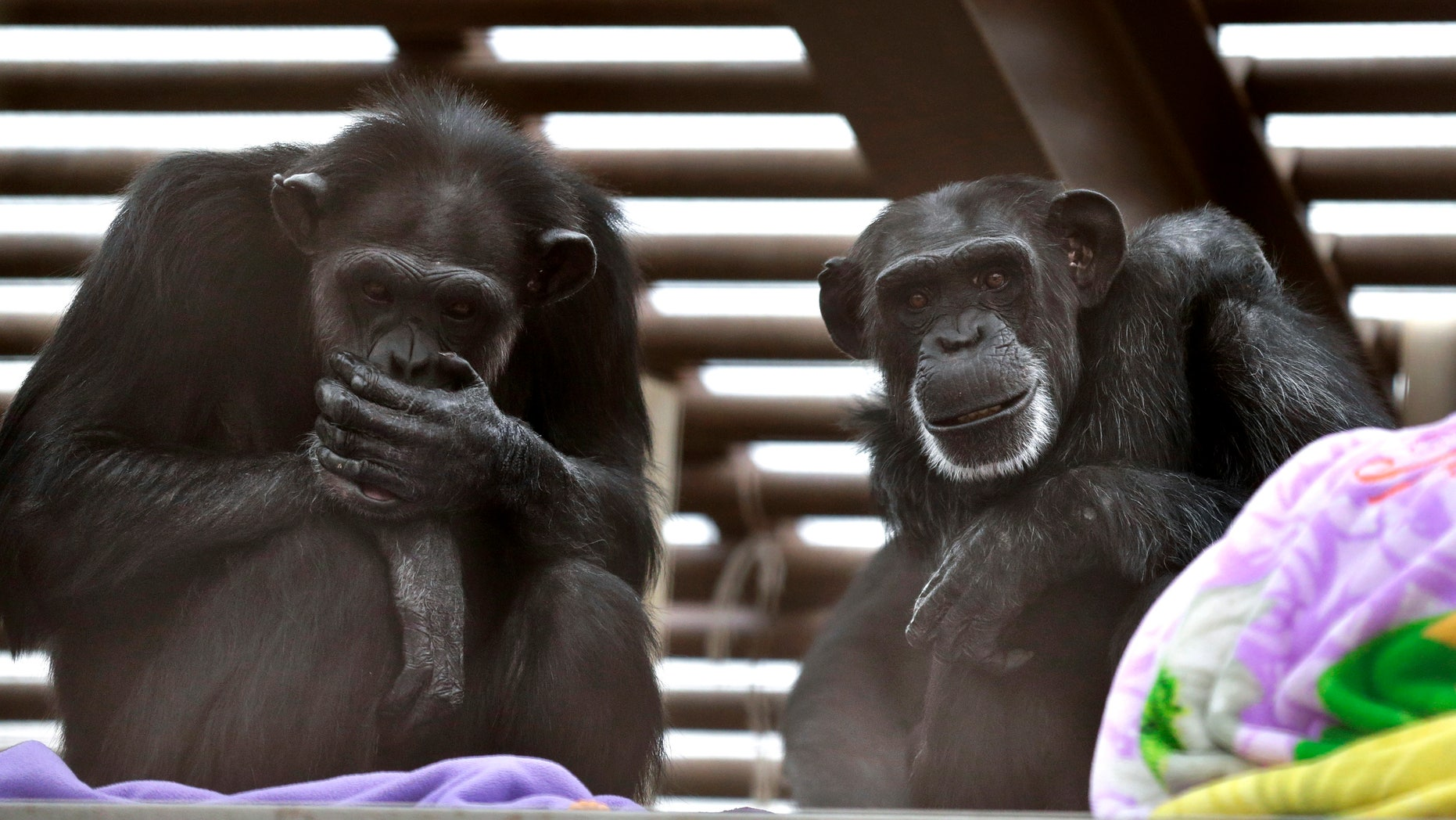 In this photo taken Aug. 8, 2016, Foxie, right, and Annie, left, two chimps who live at Chimpanzee Sanctuary Northwest near Cle Elum, Wash., sit on a platform during a party for Foxie's 40th birthday. Sanctuaries around the country are preparing for an influx of retired private lab chimps now that the federal government has stopped backing experiments on humankind's closest relatives.