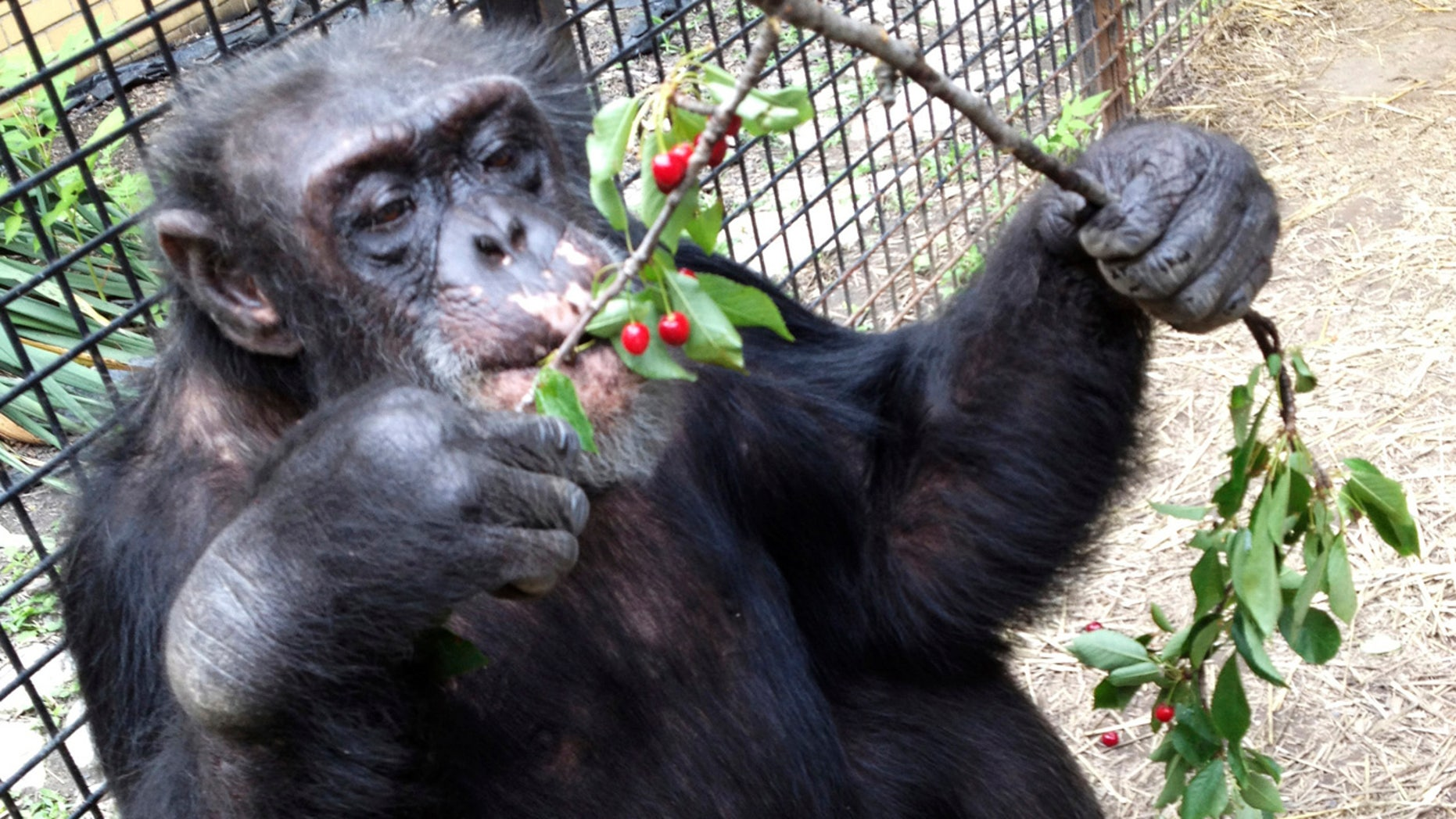 In this July 2013 photo provided by the Primate Sanctuary, the chimpanzee Kiko eats wild cherries at the nonprofit Primate Sanctuary in Niagara Falls, N.Y.