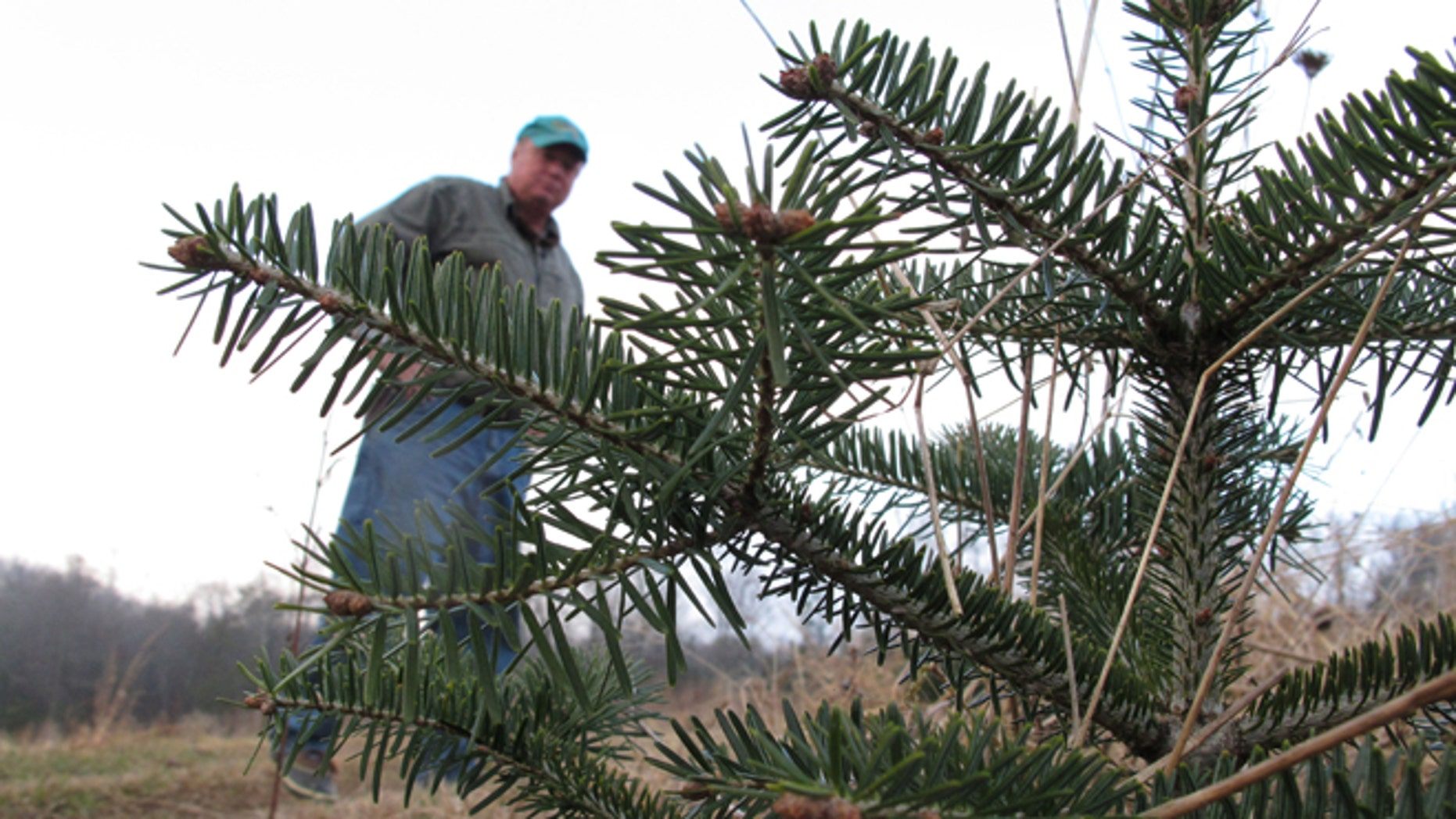 Nov. 16, 2013: In this photo, tree farmer Jeff Pollard inspects a Turkish fir seedling on one of his farms in Bakersville, N.C.  Pollard has been growing Fraser fir for nearly 40 years, but a root-rotting mold has him looking to the Turkish species to help save his family farm.