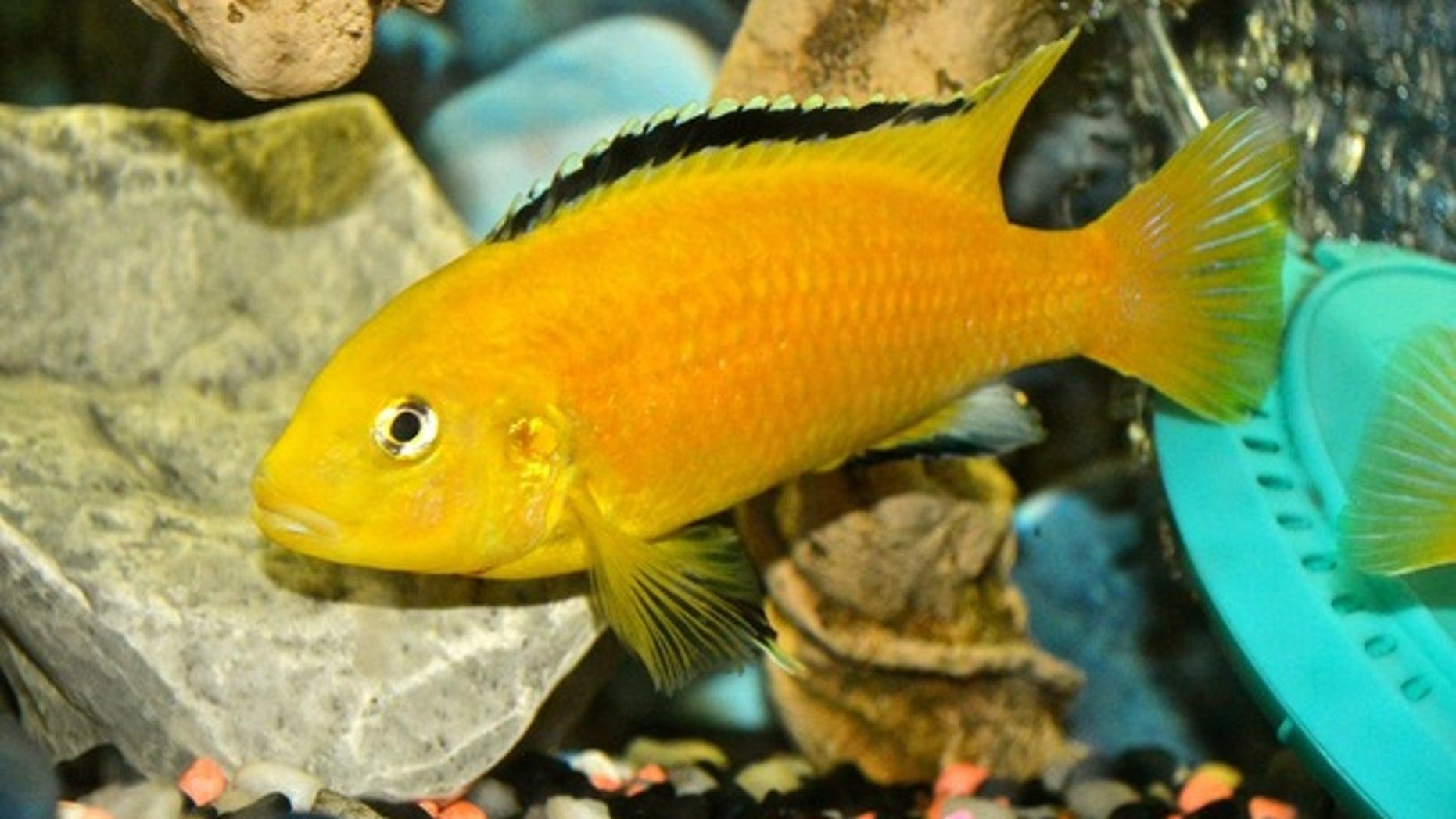 An African cichlid <i>(Labidochromis caeruleus)</i>