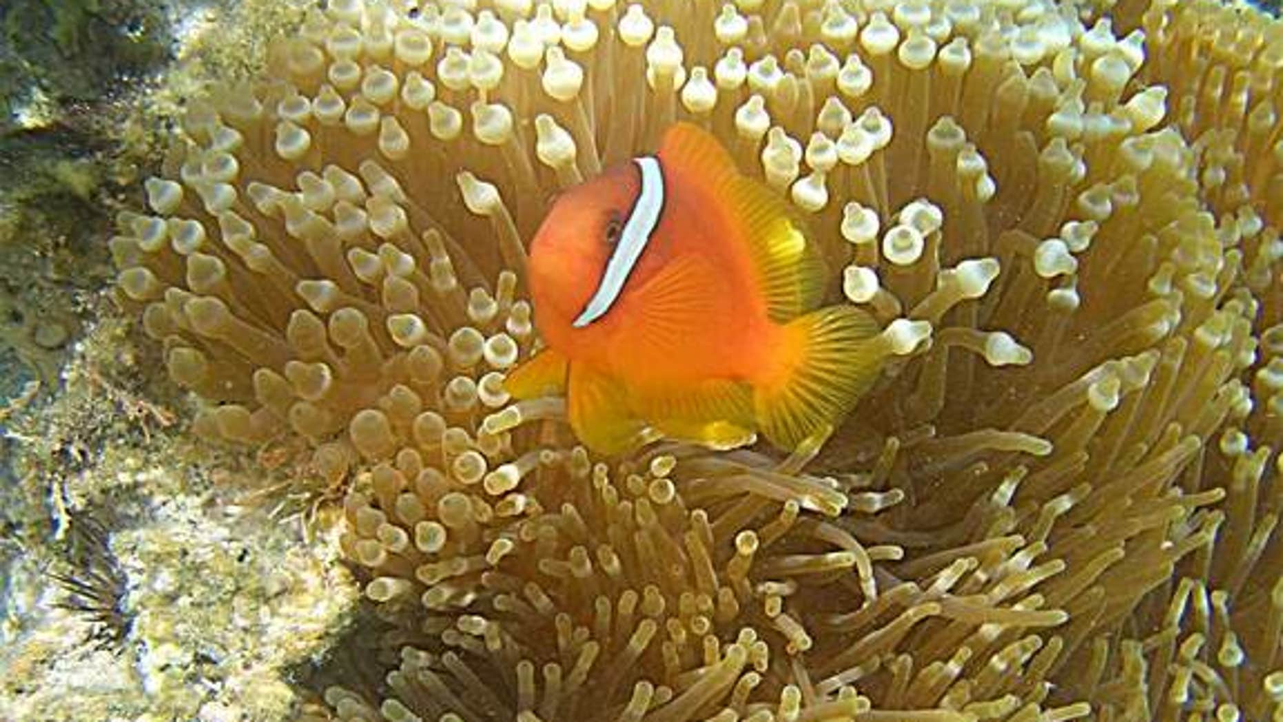 "Clownfish, made famous in the movie ""Finding Nemo,"" defend and reinforce their social status with by talking, in this case certain pops and clicks."