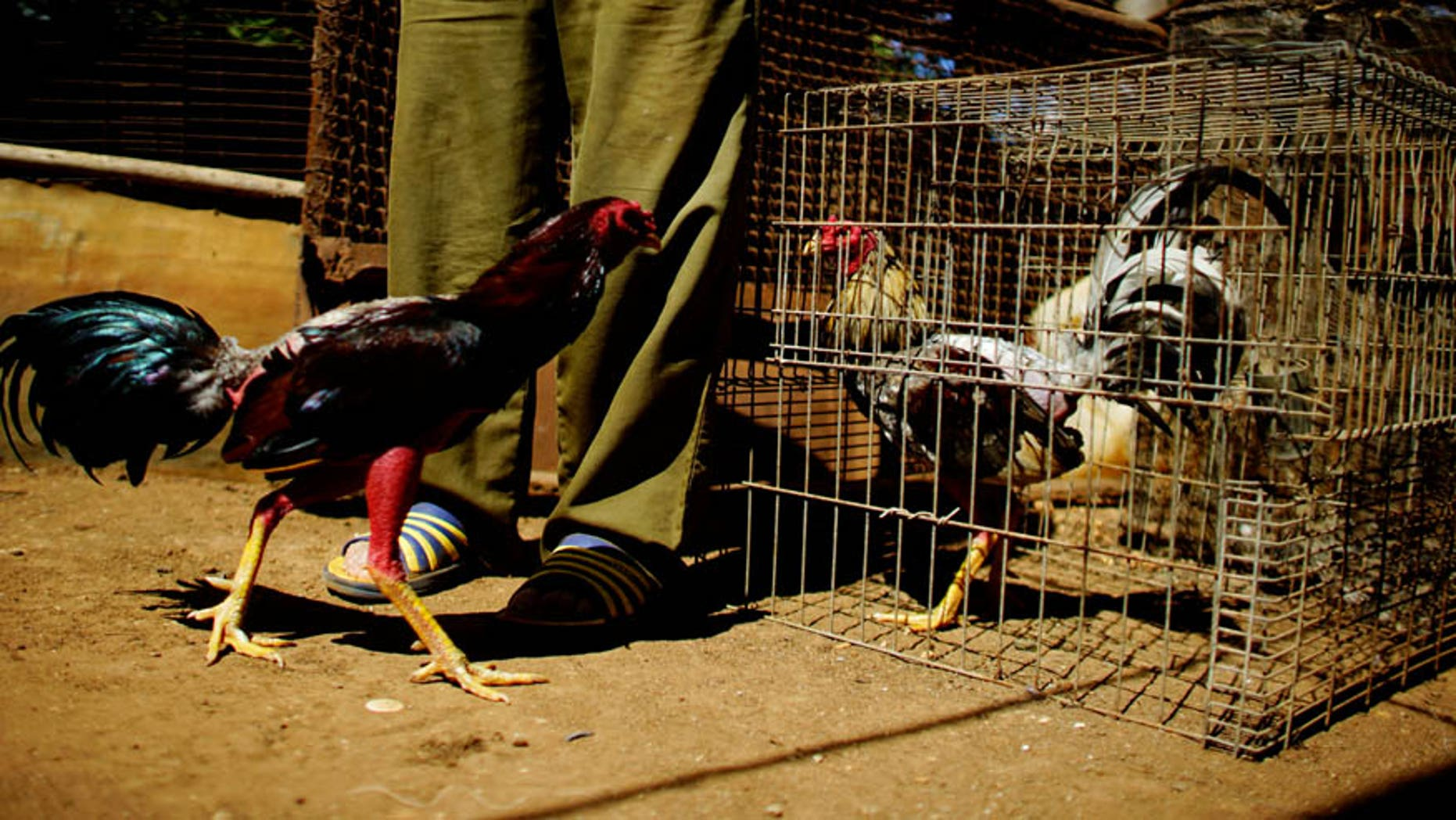 As many as 141 roosters were confiscated.