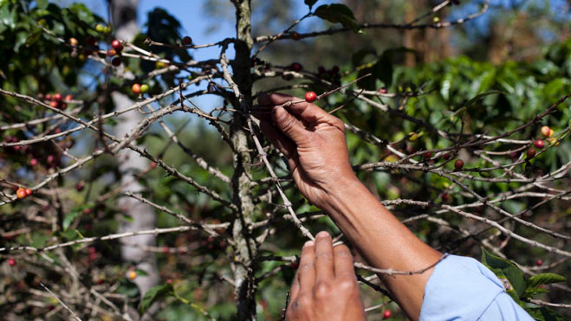Feb. 9, 2013: Coffee beans damaged by the roya fungus in San Gaspar Vivar, Guatemala.