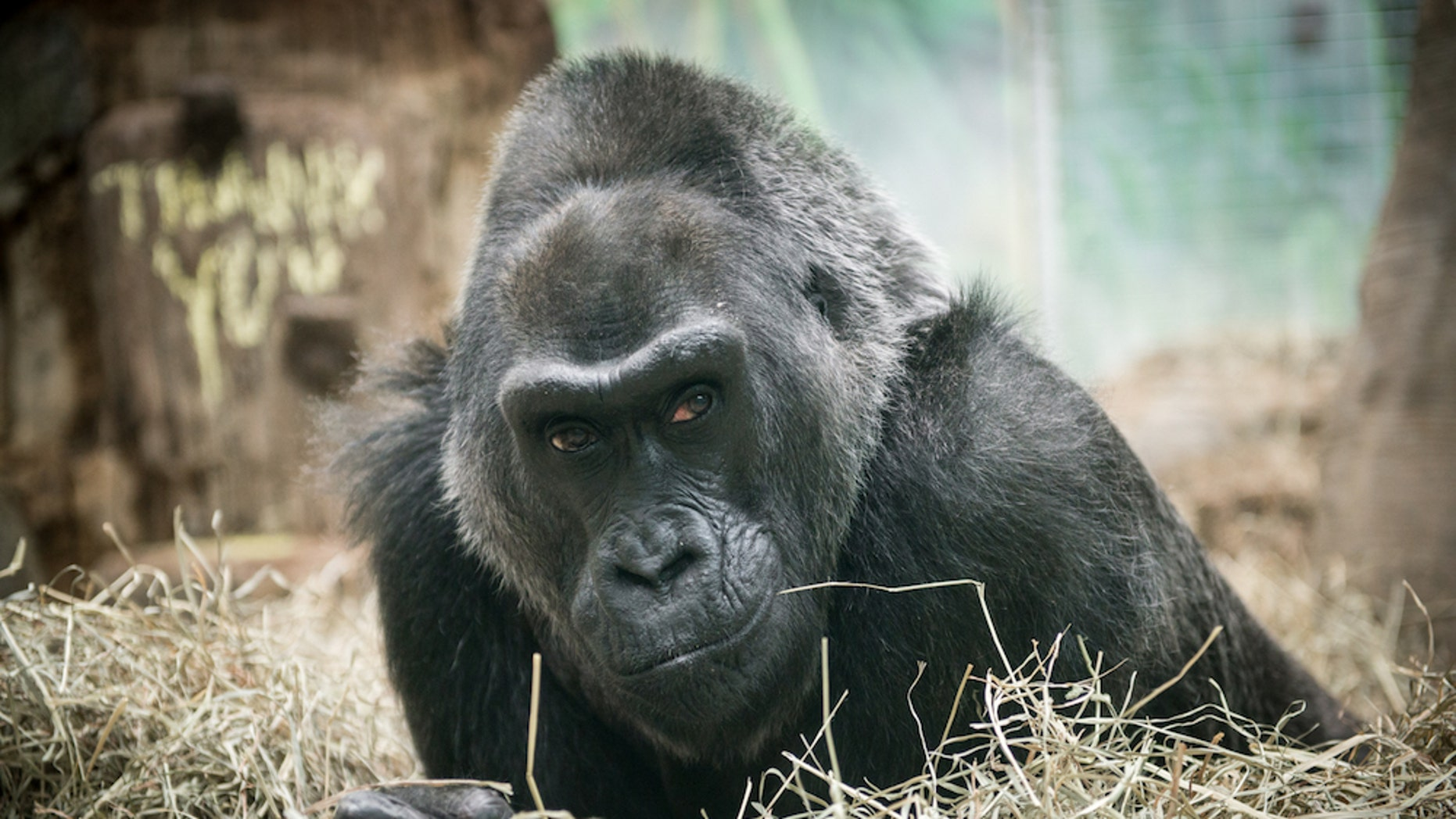 Colo the gorilla, the world's oldest known gorilla, died peacefully in her sleep on Jan. 17. She was 60 years old. Here, a photo of Colo taken in 2015.