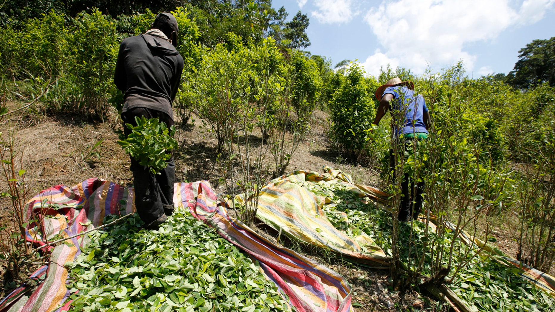 In this March 3, 2017 photo, workers harvest coca leaves in Puerto Bello, in the southern Colombia's state of Putumayo.