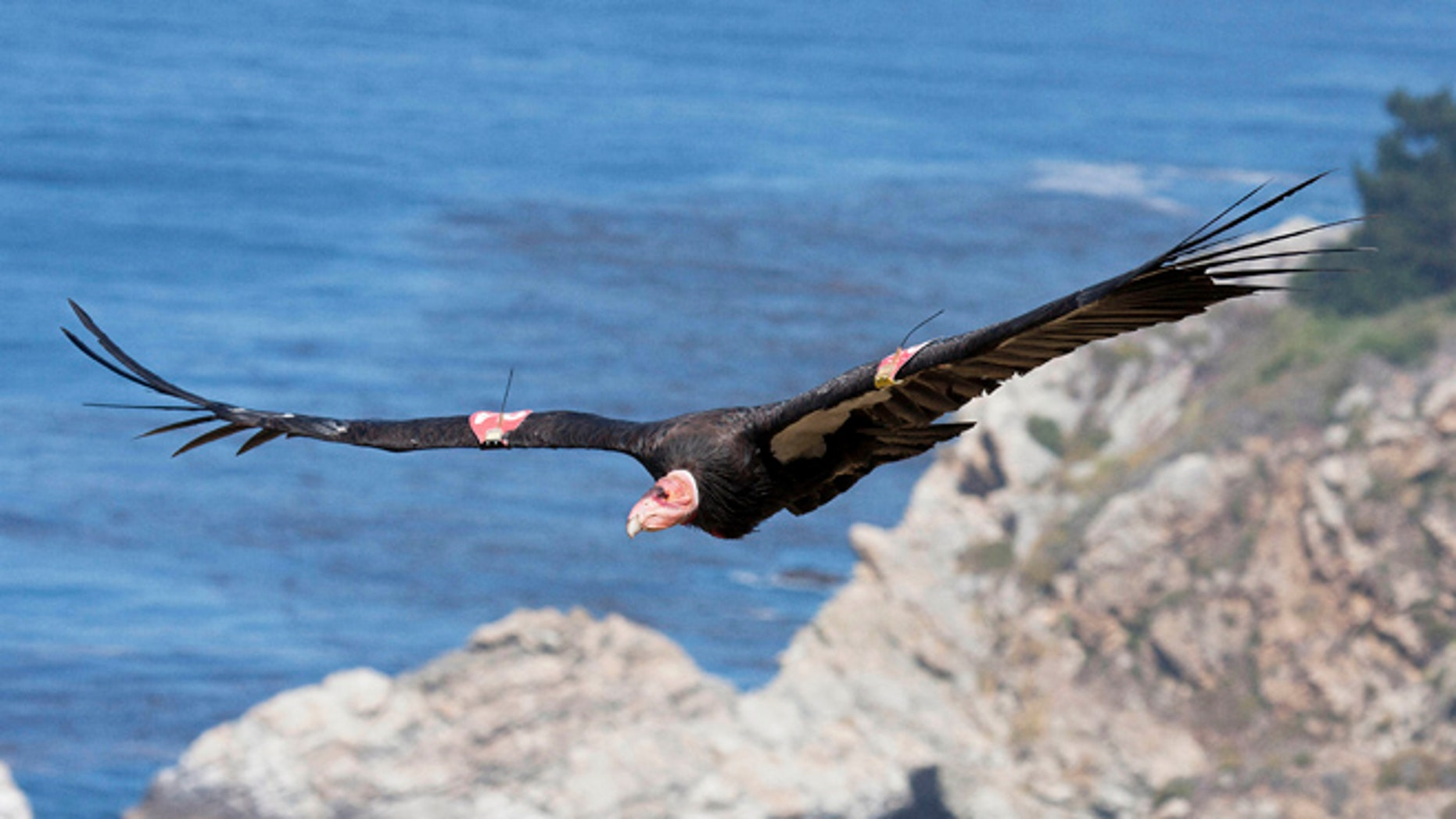 July 21, 2012: This file photo provided by the Ventana Wildlife Society shows a condor in flight in Big Sur, Calif.