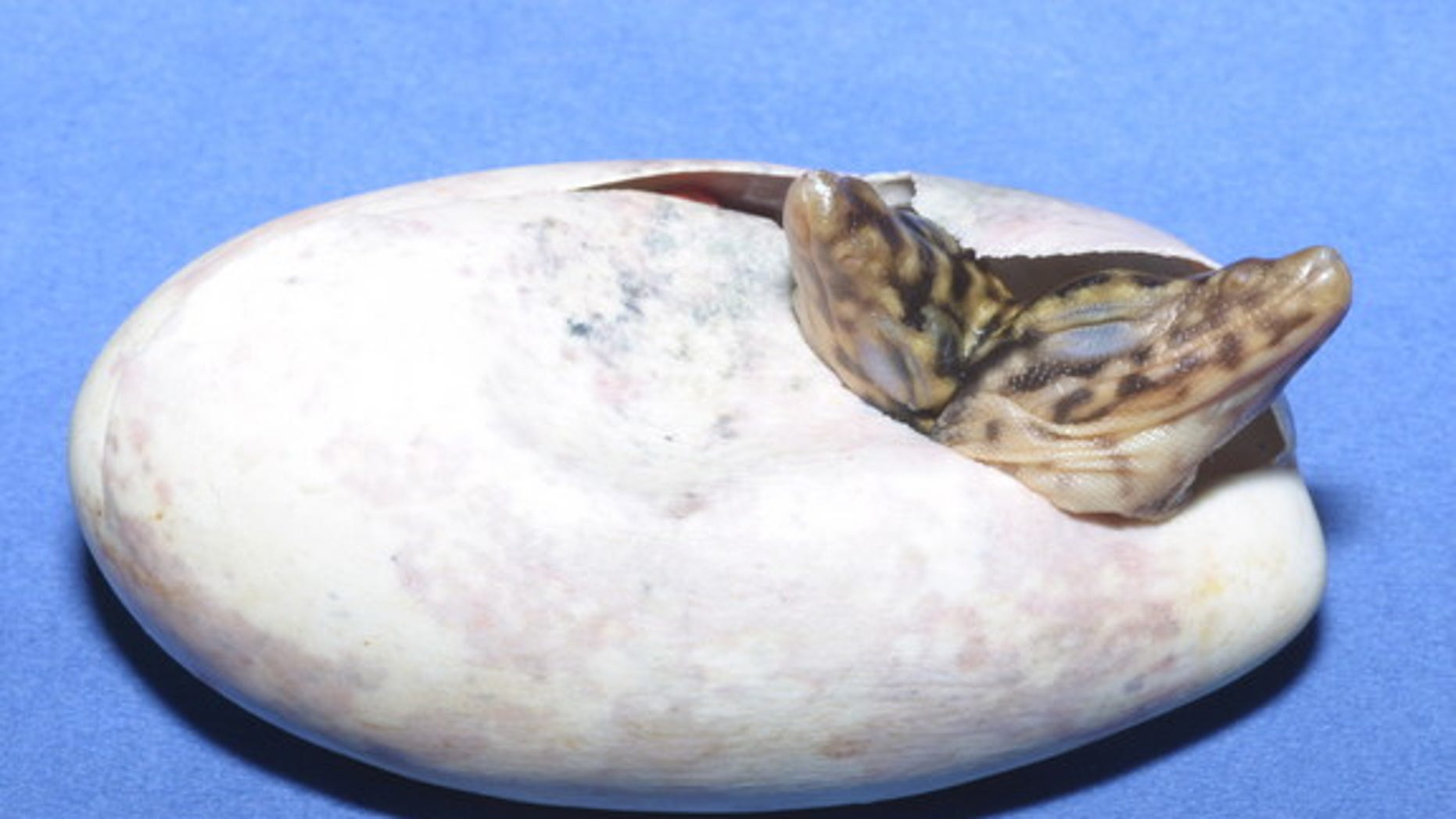 The conjoined lizard twins, still inside their egg.