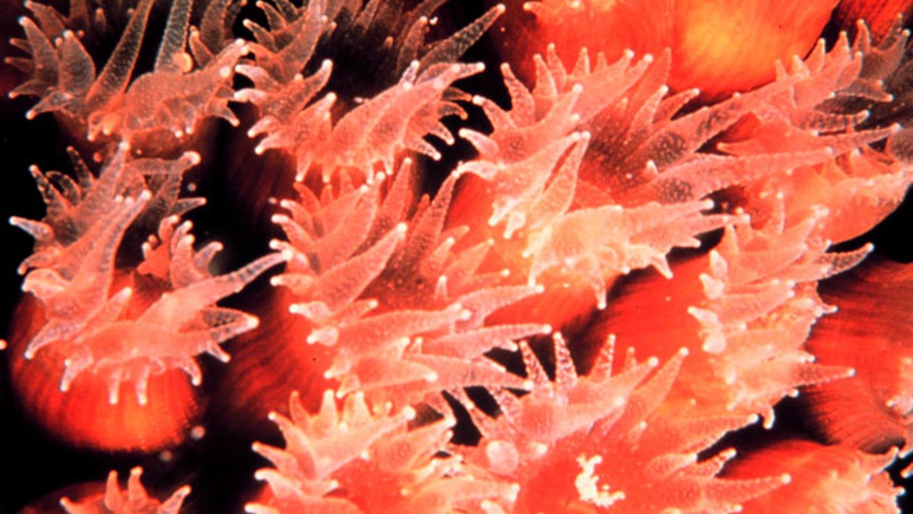 A closeup of a cavernous star coral (Montastrea cavernosa).