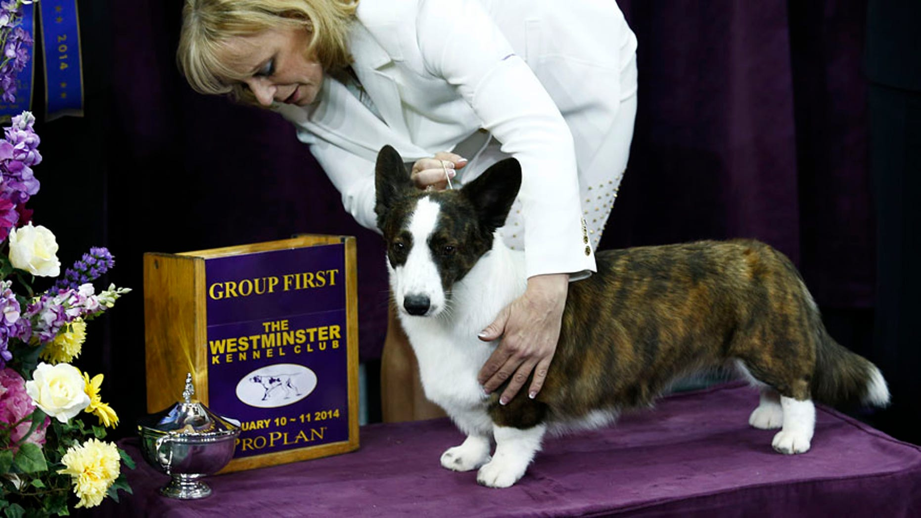 Feb. 10, 2014: Coco Posh, a Cardigan Welsh Corgi, poses with its handler for a picture after winning the herding group during day one of judging of the 2014 Westminster Kennel Club Dog Show in New York.