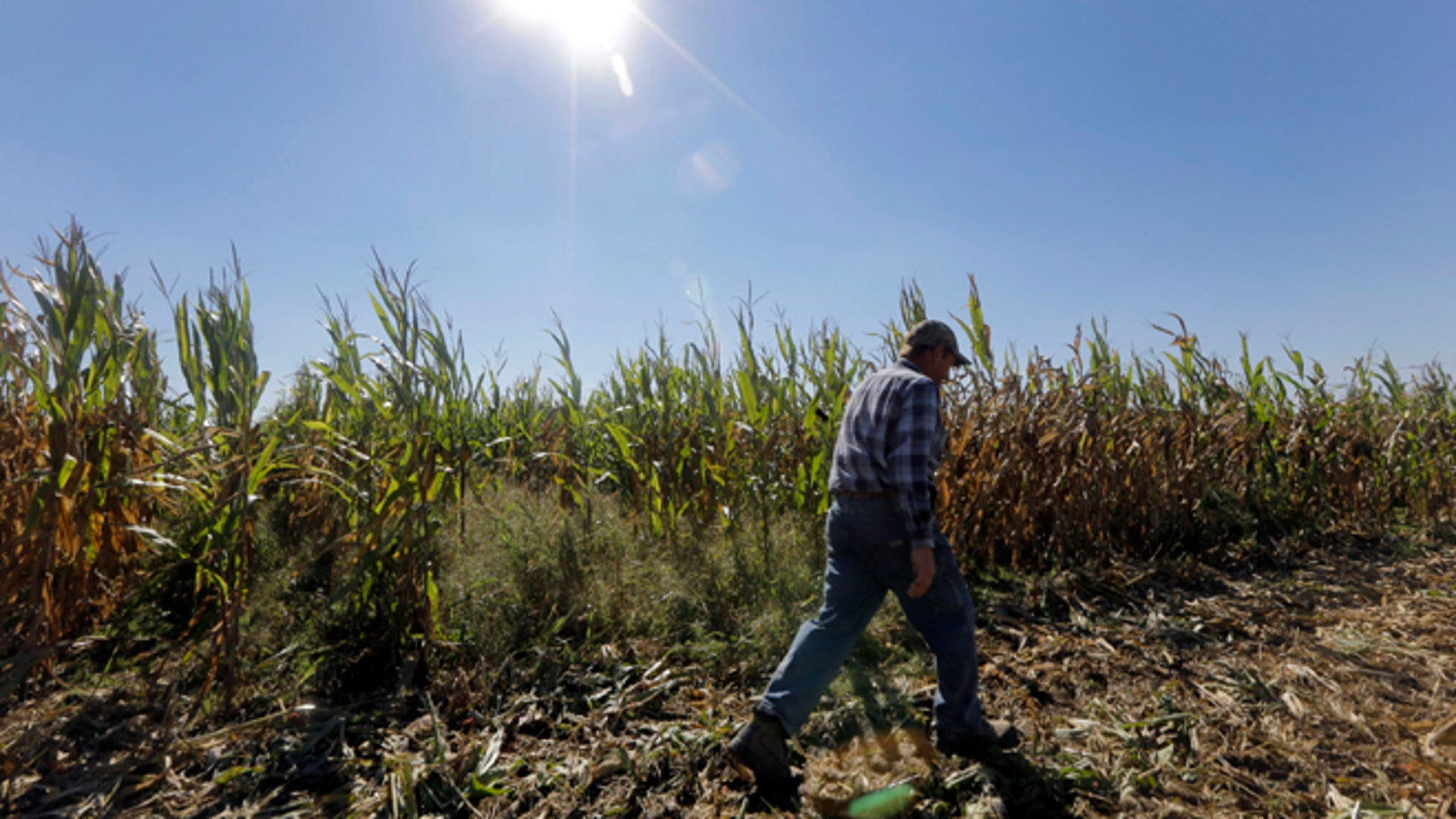 Oct. 16, 2013: Larry Hasheider walks along one of his corn fields on his farm in Okawville, Ill.