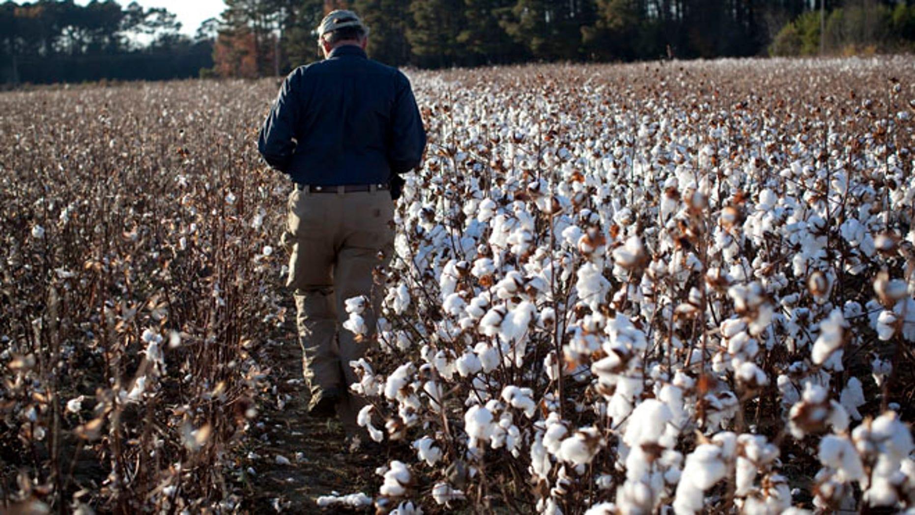 Farmer Roy Baxley, Jr. walks through a cotton field during the harvest on his farm in Minturn, South Carolina November 24, 2012.