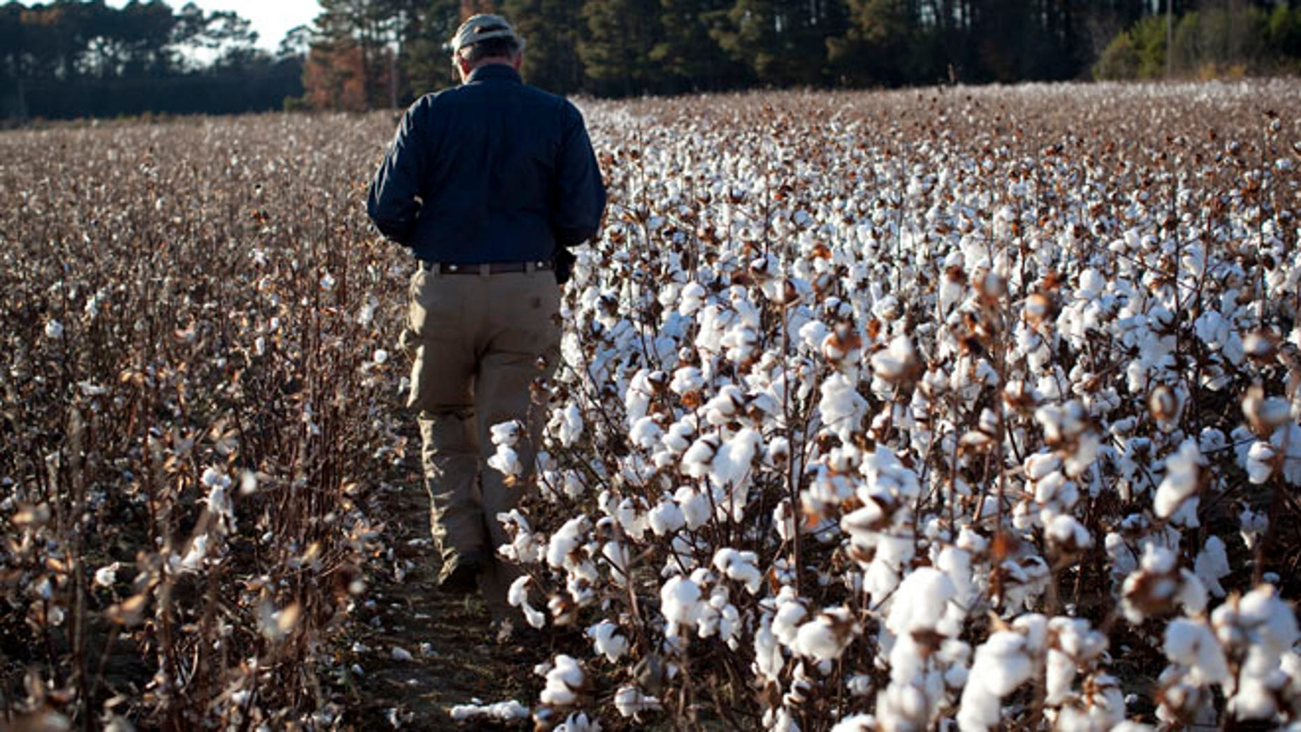 Farmer Roy Baxley, Jr. walks through a cotton field during the harvest on his farm in Minturn, South Carolina November 24, 2012.