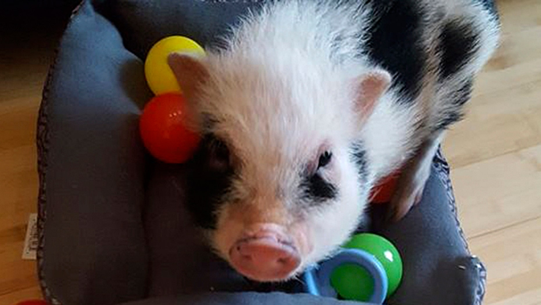 Cleveland police are searching for a 15-pound mini pet pig that was stolen.