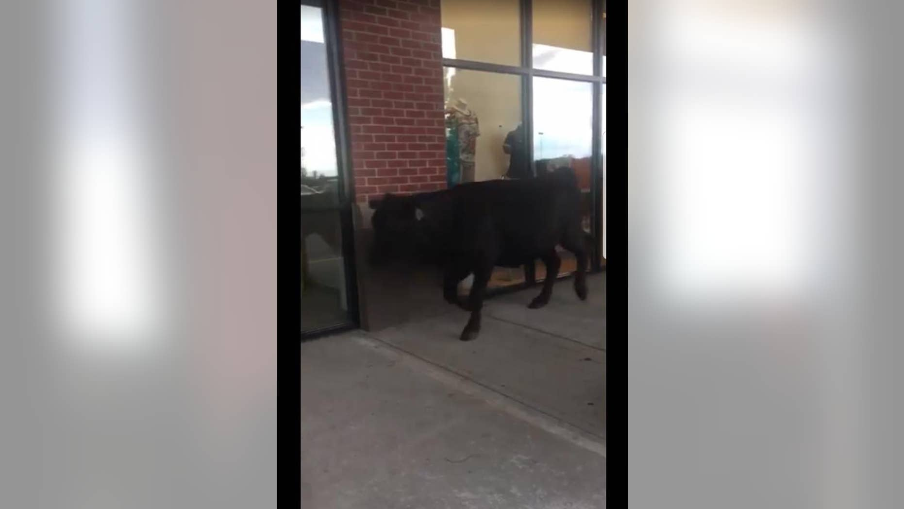 A shop at Merritt's Creek Shopping Plaza in Barboursville, West Virginia, with one of the loose cattle in front of it on Saturday, May 6, 2017.