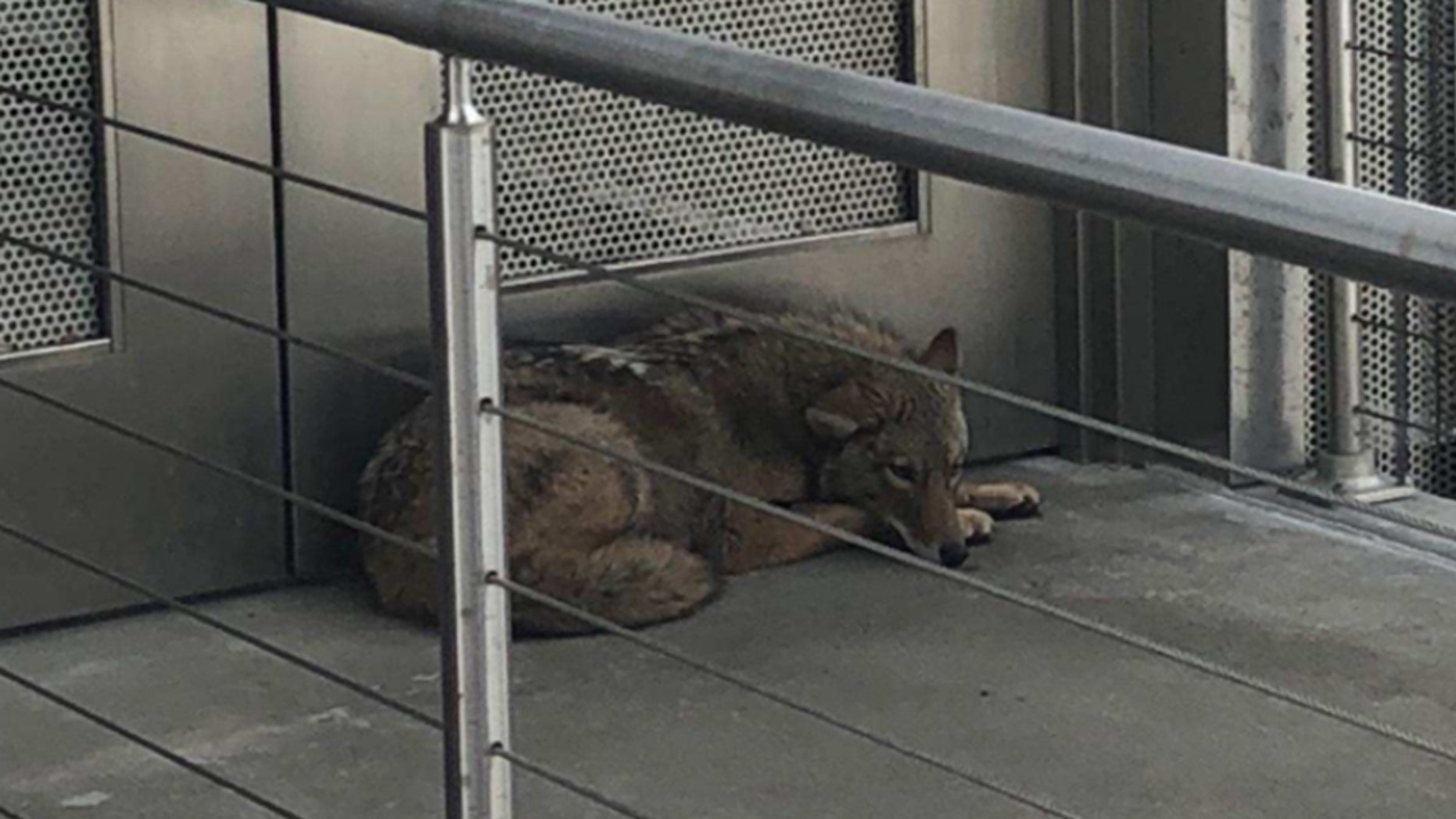 March 27, 2018: A coyote was found on an outdoor mezzanine at a museum in Albany, N.Y.