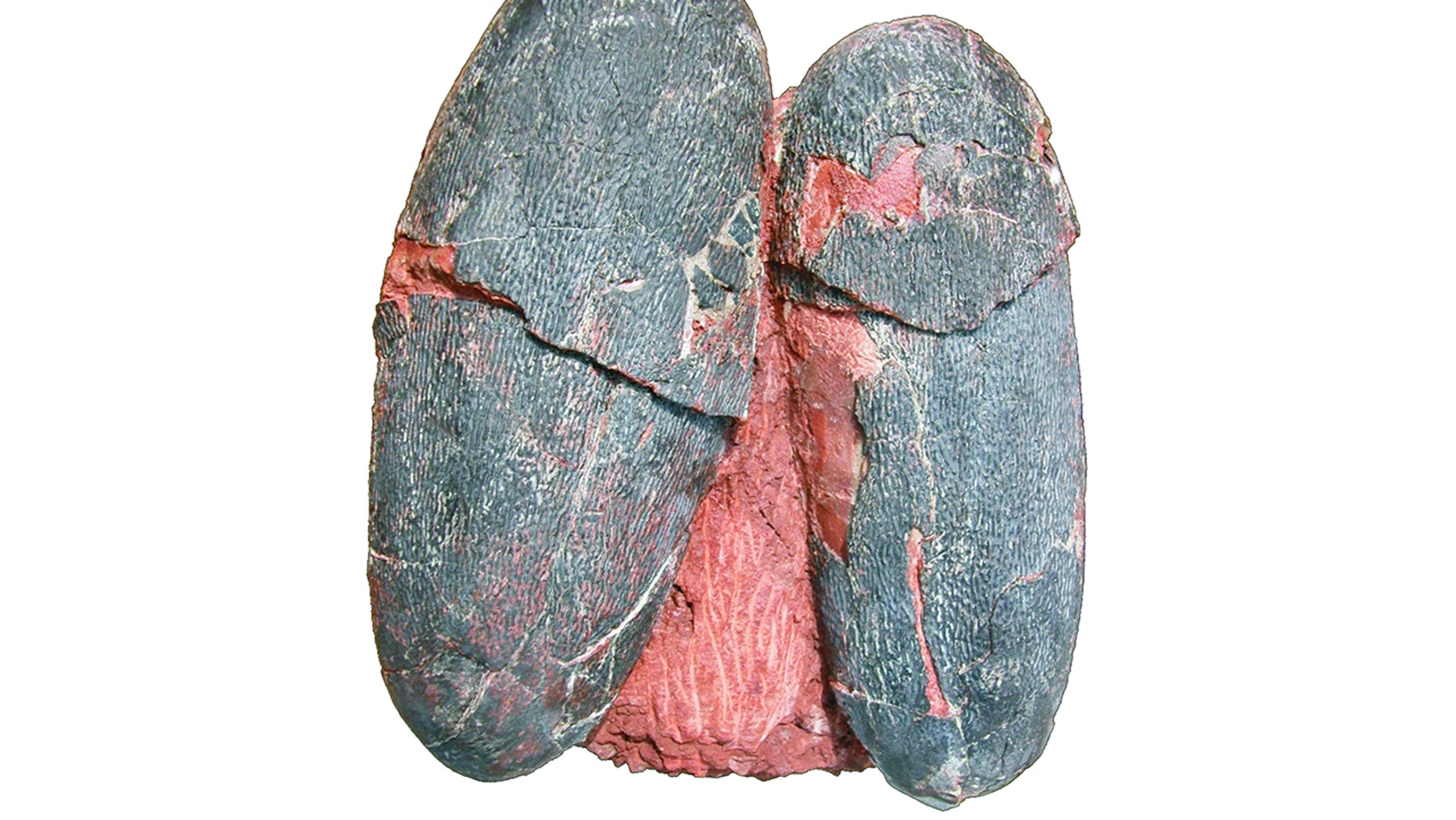 Fossilized eggs belonging to the Cretaceous dinosaur Heyuannia huangi hold traces of pigment hinting that they were a blue-green color. To the naked eye, they appear blackish-brown.