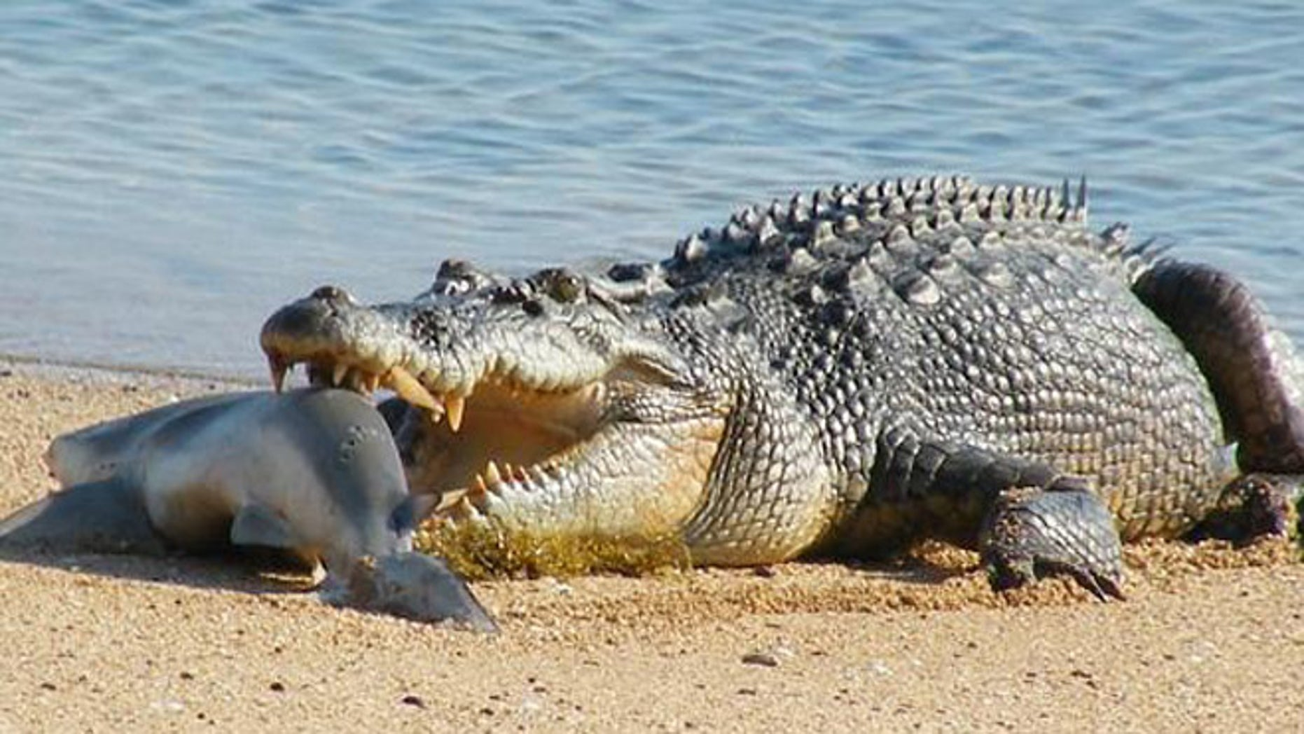 A crocodile similar to this one here, shown eating a shark at Cobourg Peninsula in Australia's Northern Territory, battled a shark in the Adelaide River on Monday.