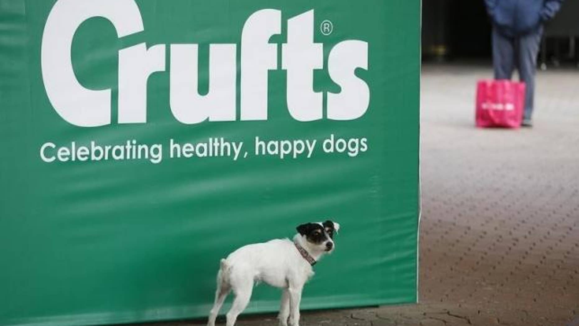 March 5, 2015: A dog poses for its owner on arrival for the first day of the Crufts Dog Show in Birmingham, central England.