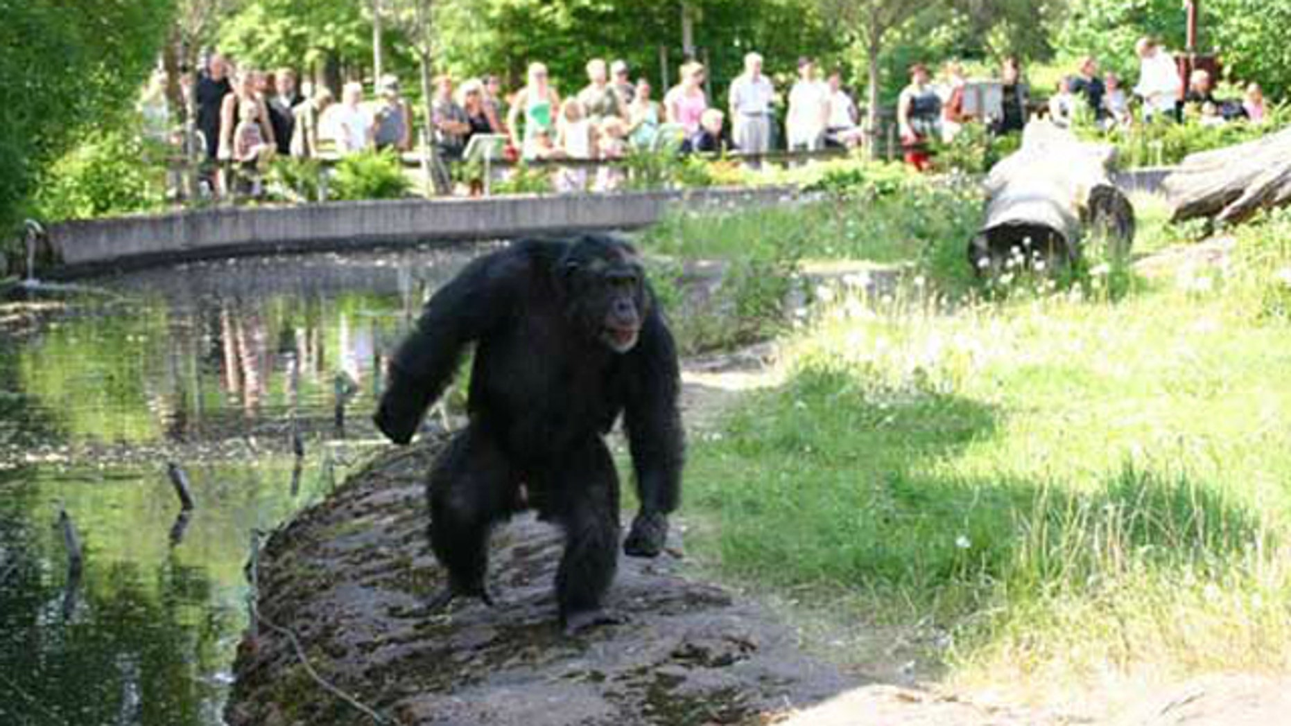 "Santino,"" a male chimpanzee at Furuvik Zoo in Sweden, is devising increasingly complex attacks against zoo visitors. Here, he postures, looking tough, in front of zoo visitors."