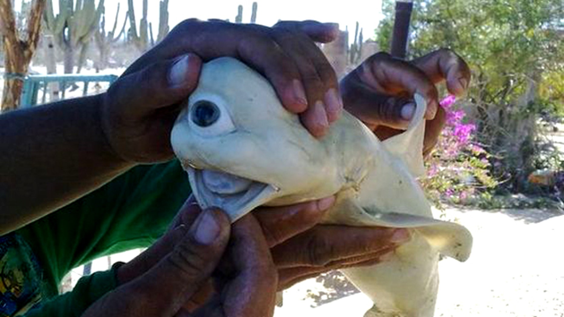 A fetal shark cut from the belly of a pregnant shark caught in the Gulf of California. The shark, which would likely not have survived outside the womb, had only one eye.