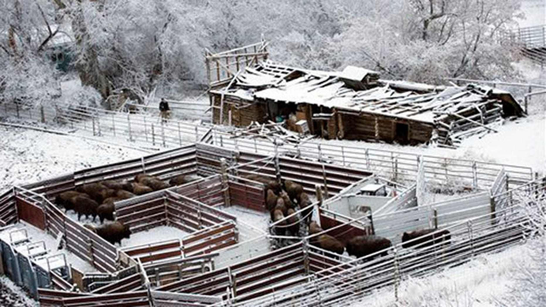 March 19, 2012 : This shows bison entering a holding pen at the Rigler Quarantine Facility near Gardiner, Mont.