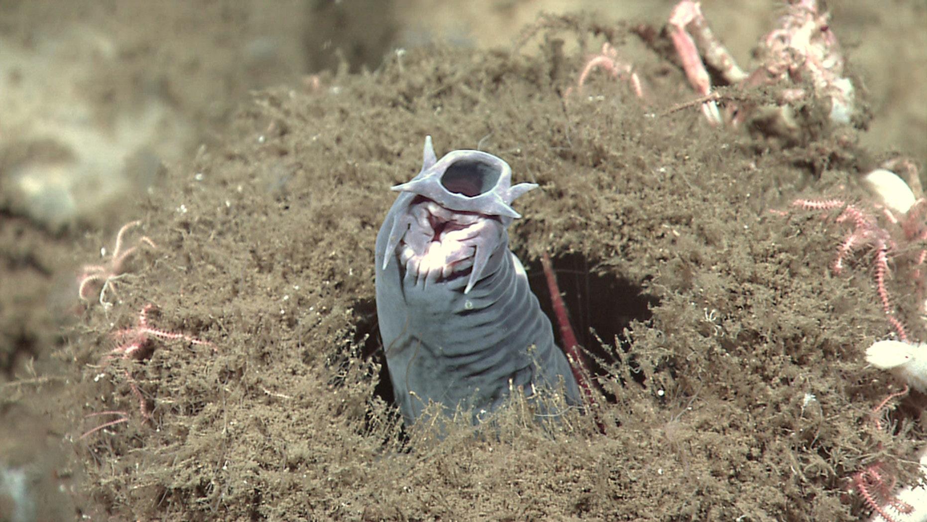 A hagfish protruding from a sponge. (Credit: NOAA Okeanos Explorer Program)
