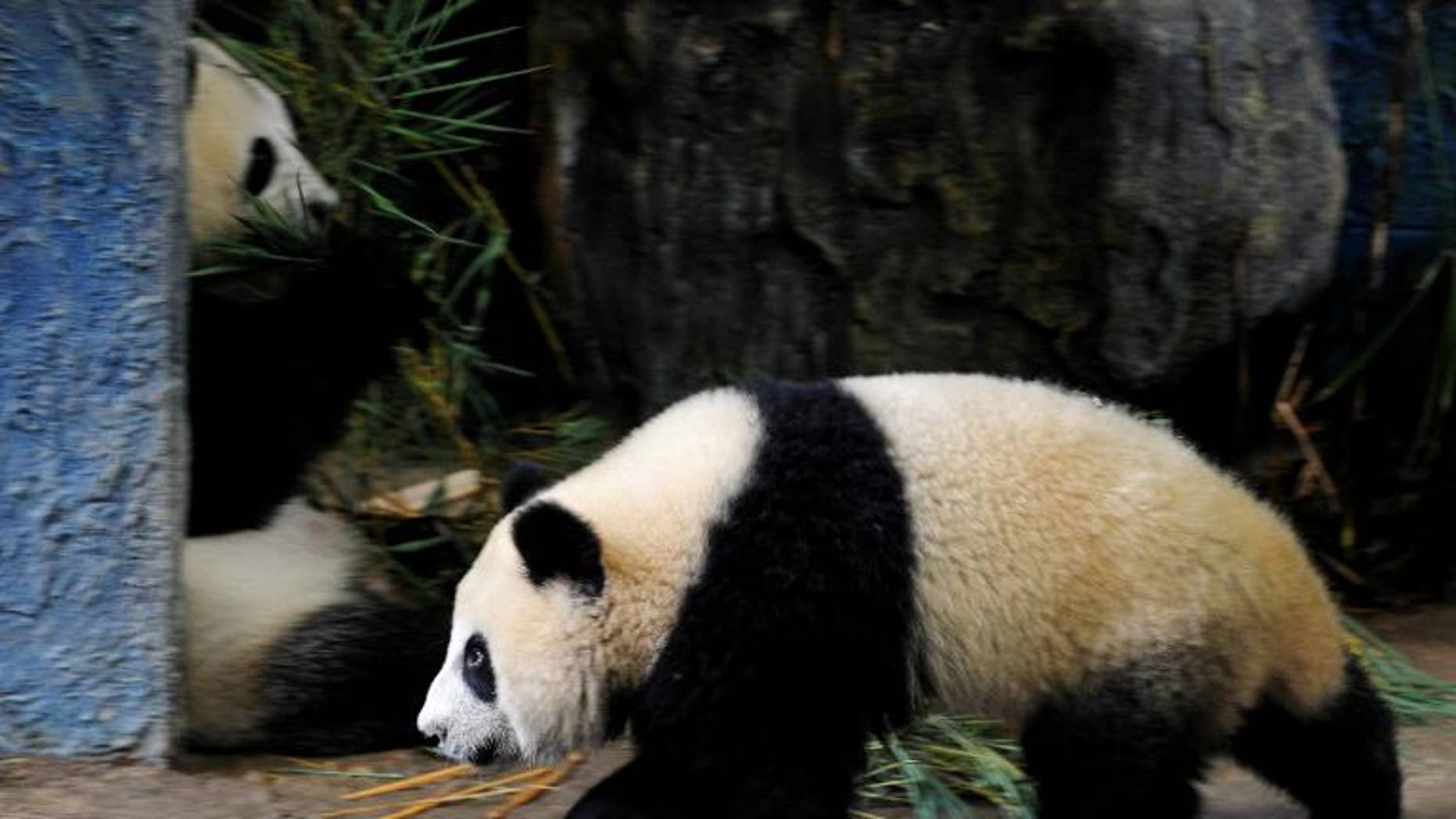 Thai panda Linping, pictured in an enclosure at Chiang Mai zoo, on September 19, 2010