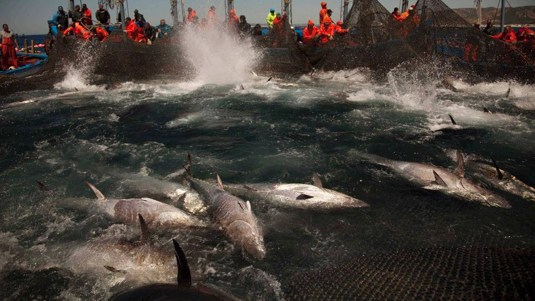 FILE - In this April 27, 2011 file photo, Atlantic bluefin tuna are corralled by fishing nets during the opening of the season for tuna fishing off the coast of Barbate, Cadiz province, southern Spain.  Documents revealed on Friday, Feb. 27, 2015, show that Turkey is planning to catch up to 73 percent more Bluefin tuna than under an internationally agreed plan to limit the Atlantic Tuna catch.  During an intense meeting of the International Commission for the Conservation of Atlantic Tunas, the European Union, Japan and others nations were angry at Turkey for announcing its unilateral intention to increase their own quotas. (AP Photo/Emilio Morenatti, File)