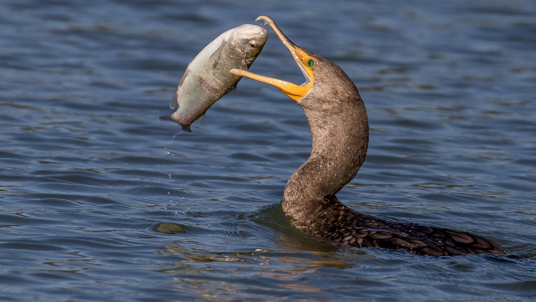 The cormorant struggles to swallow the catfish.