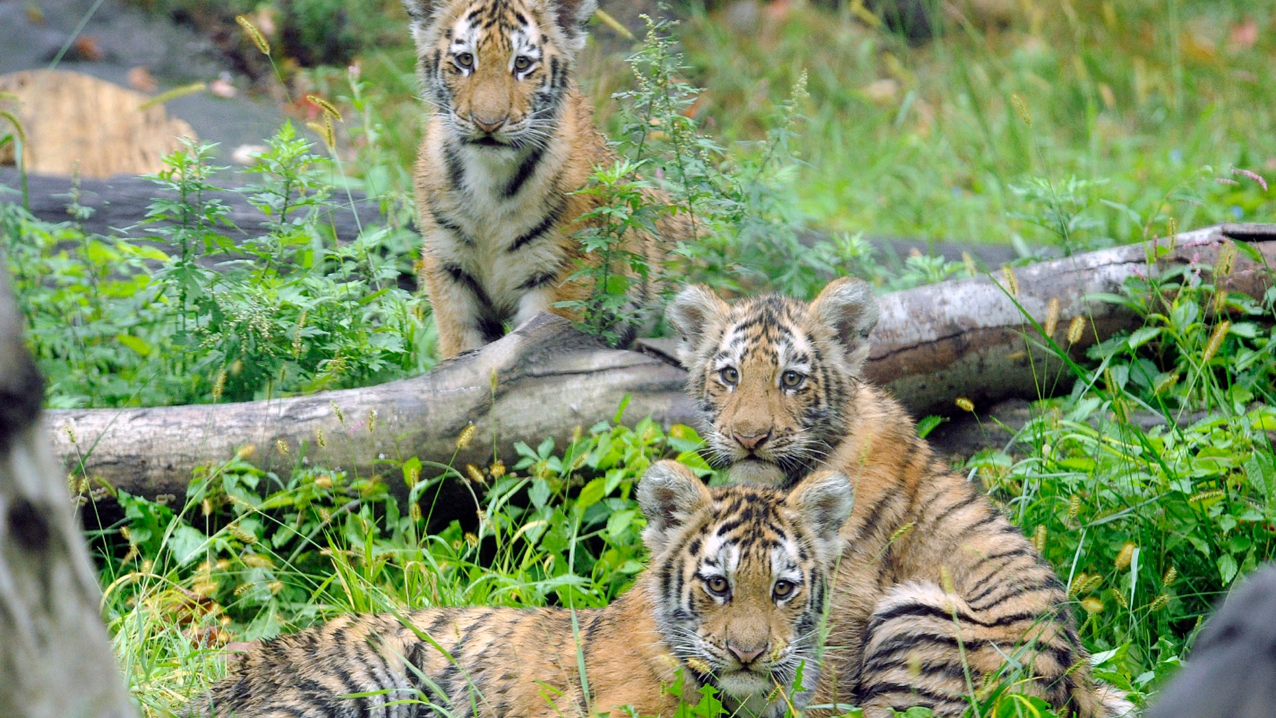 State legislators in both houses have passed a bill banning people from posing for photos while hugging, patting or otherwise touching tigers in New York state.