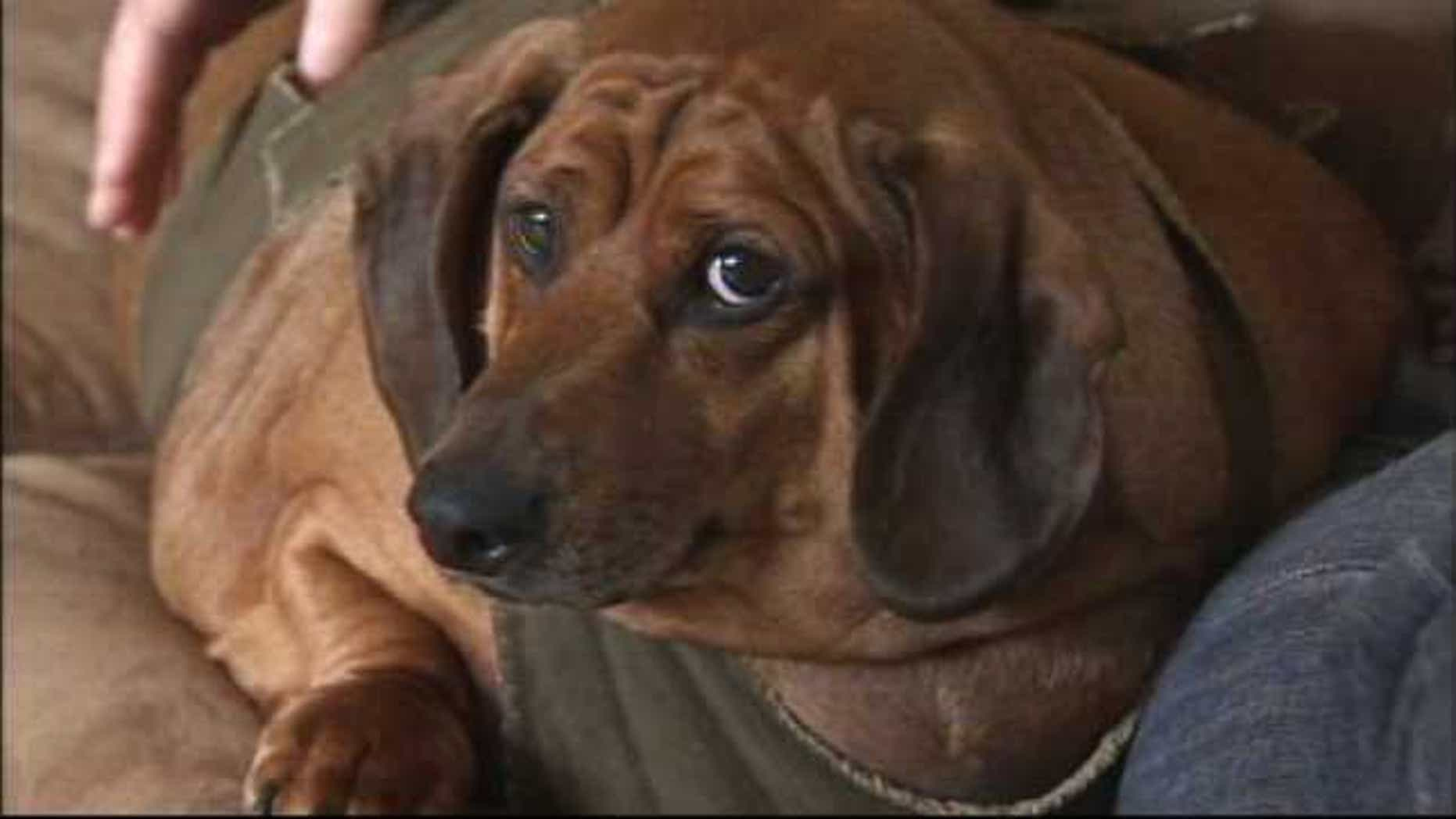 A custody battle is under way in Oregon between two sides who rescued Obie, a dachshund who once tipped the scales at 77 pounds and made headlines all around the world.