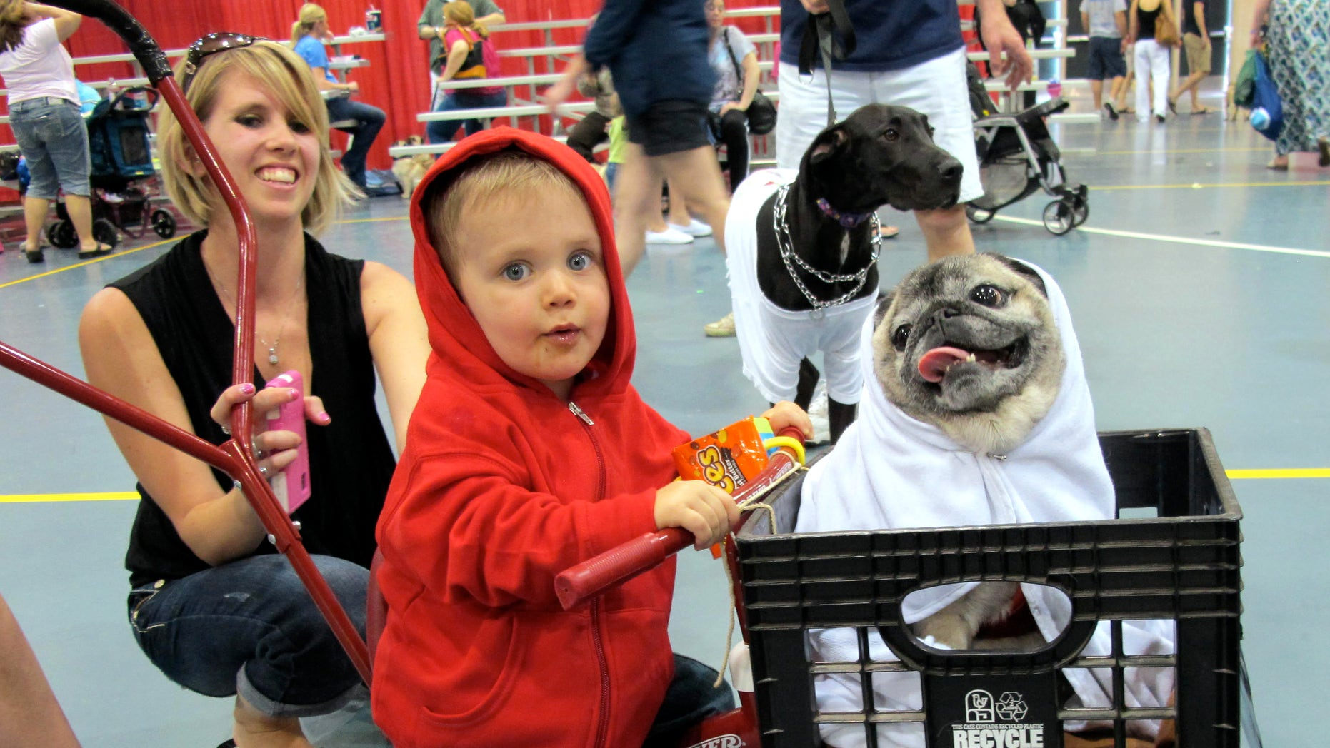 In this May 19, 2013, photo Lucas Purdy, 1, and Peke the pug won first place in one of the costume contests at Milwaukee Pug Fest in Franklin, Wis.  The annual event, that helps pay for medical and dental bills for rescued pugs, attracted more than 1,700 pugs and other smushy-faced dogs along with 2,900 humans from the U.S. and Canada. (AP Photo/Carrie Antlfinger)