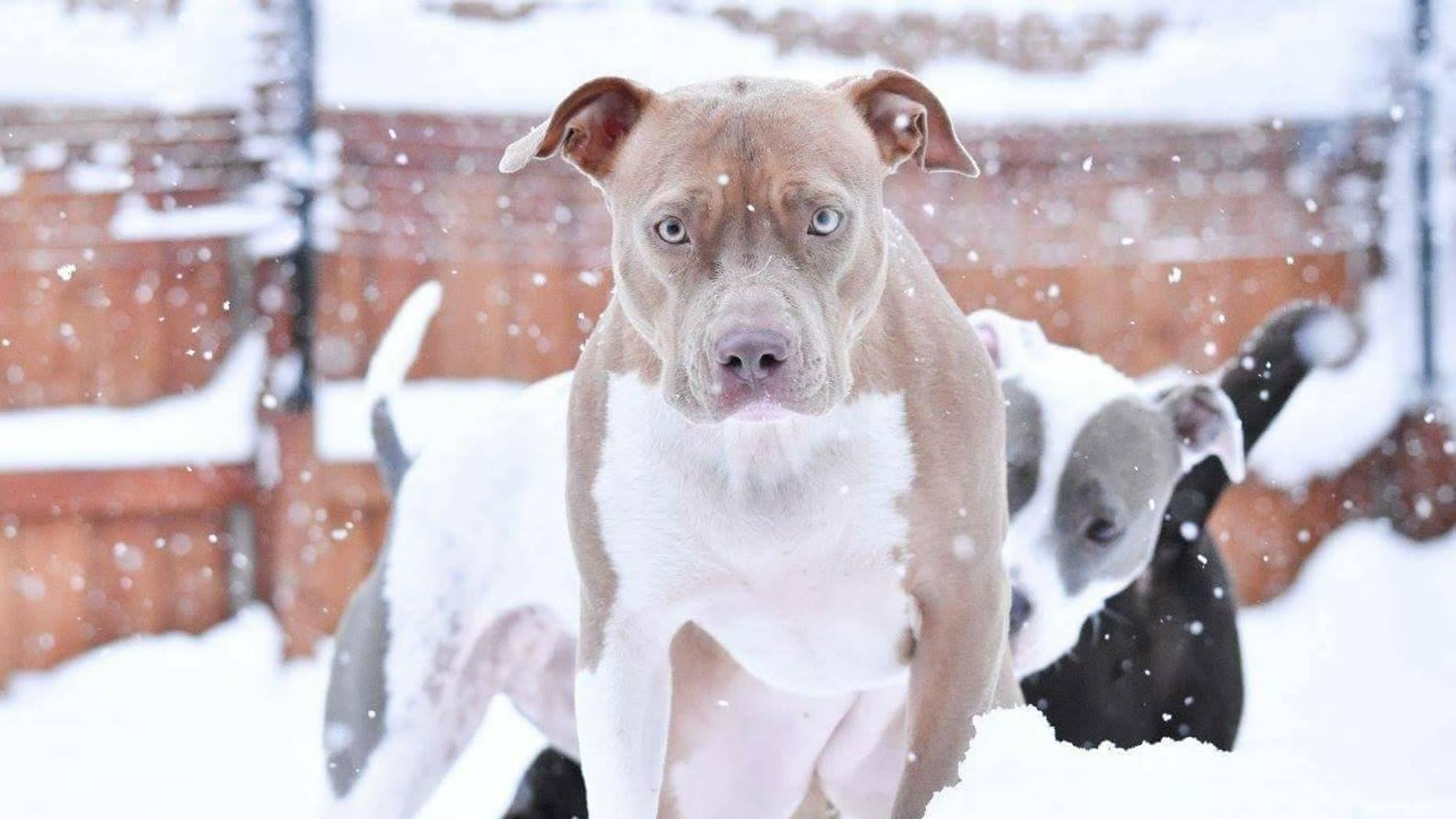 Ronene Ando, of Buffalo, New York, credits her pit bull Ruby with saving her life.