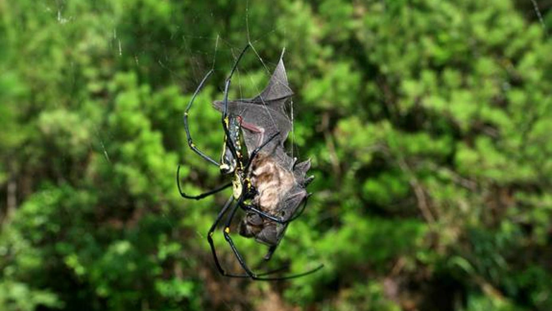 Bat-eating spiders are common and apparently creep around every continent, except Antarctica, devouring various bat species. Here, a dead bat (<em>Rhinolophus cornutus orii</em>) caught in the web of a female <em>Nephila pilipes</em> on Amami-O