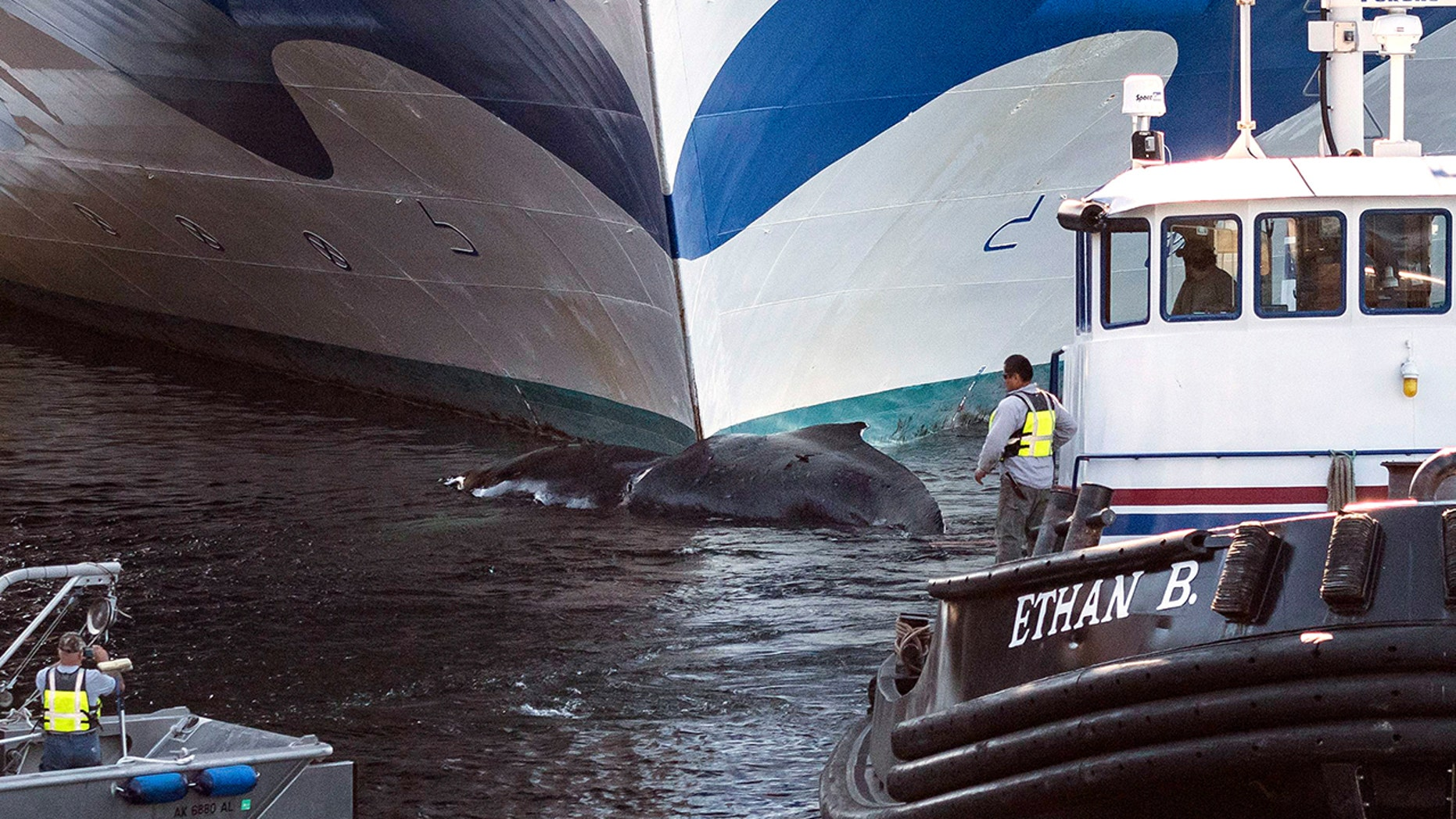 A dead whale was found stuck to the bow of the Grand Princess cruise ship coming into port in Alaska