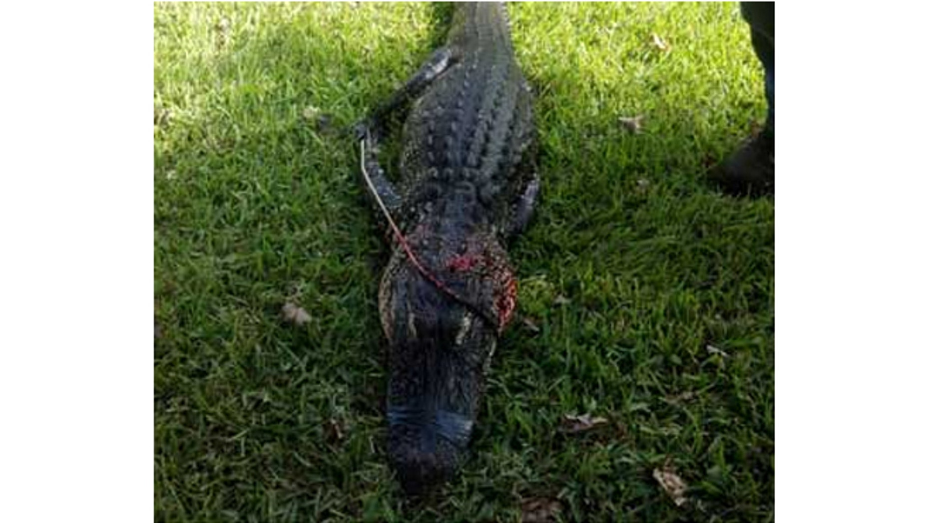 Authorities tracked and killed an alligator they say took the arm of an elderly woman.
