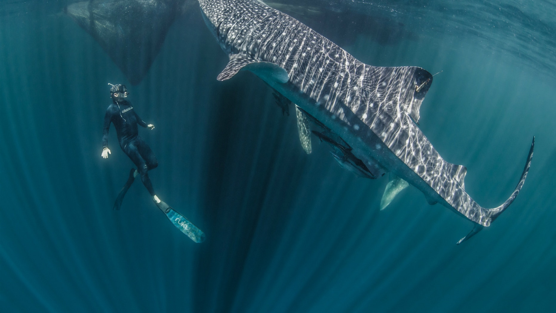 Marine ecologist Mark Erdmann swims with a tagged whale shark in Raja Ampat, Indonesia.