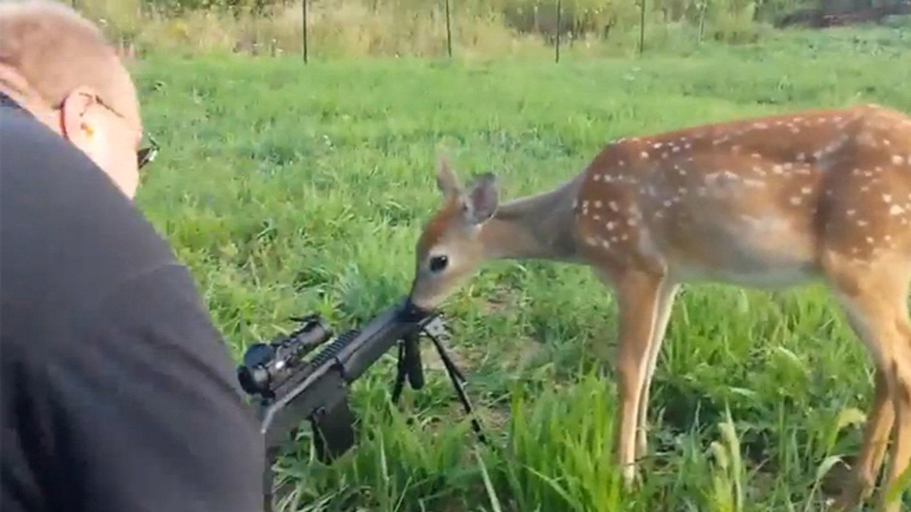 A deer licks the barrel of a hunter's gun.