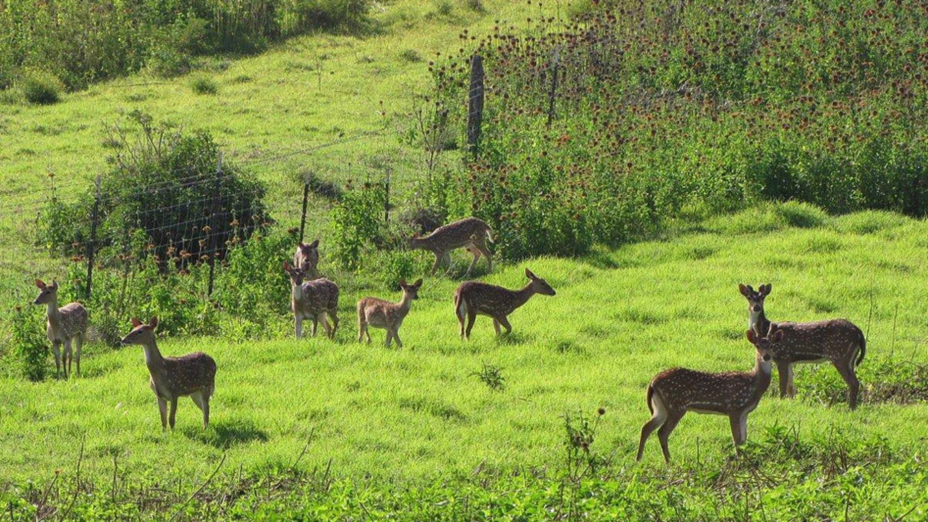In this April 12, 2012 photo provided by Forest and Kim Starr, axis deer are shown in upcountry Maui near Makawao, Hawaii. In Maui, deer have caused $1 million in damage during the past two years for farmers, ranchers, and resorts, according to a county survey.