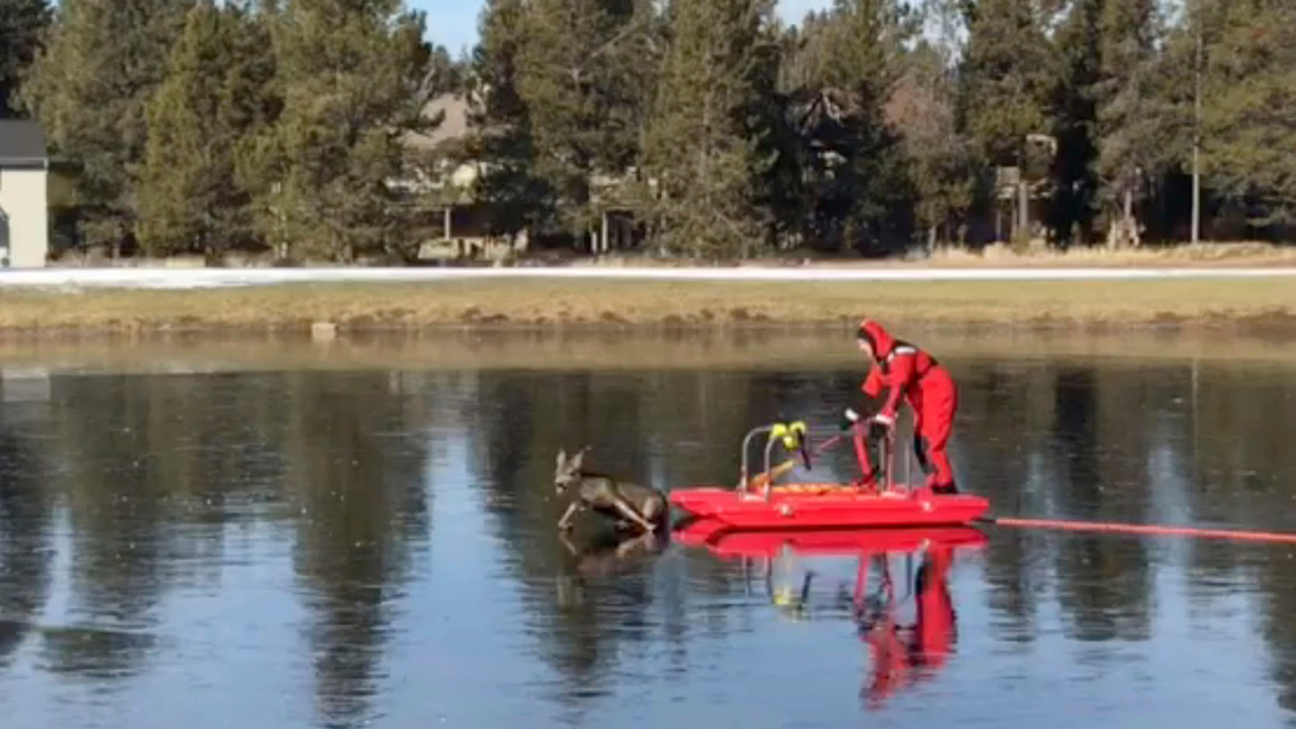 "This Friday, Dec. 8, 2017, image made from a video provided by L4262 Sunriver Professional Firefighters shows firefighter Jeff ""JJ"" Johnston using an ice-rescue sled to gently nudge a deer off a frozen pond in Sunriver, Ore"