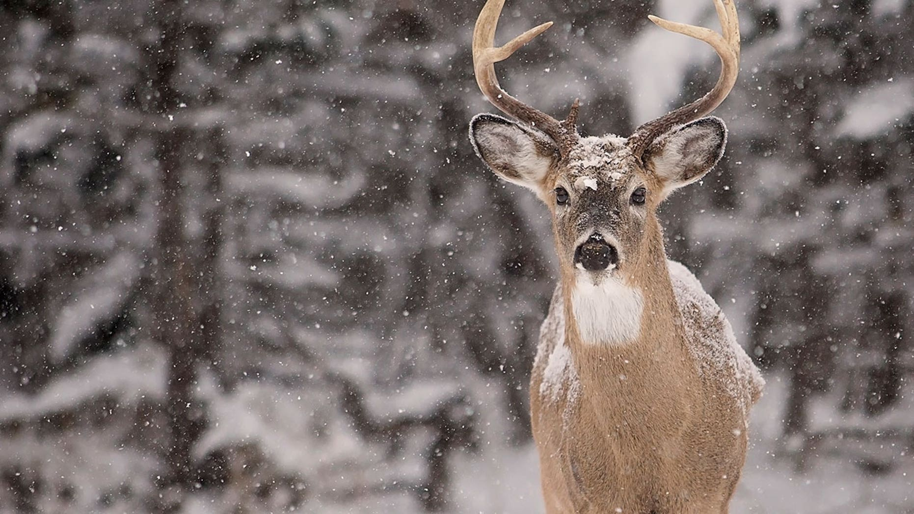 How To Read Deer Tracks In The Snow Fox News