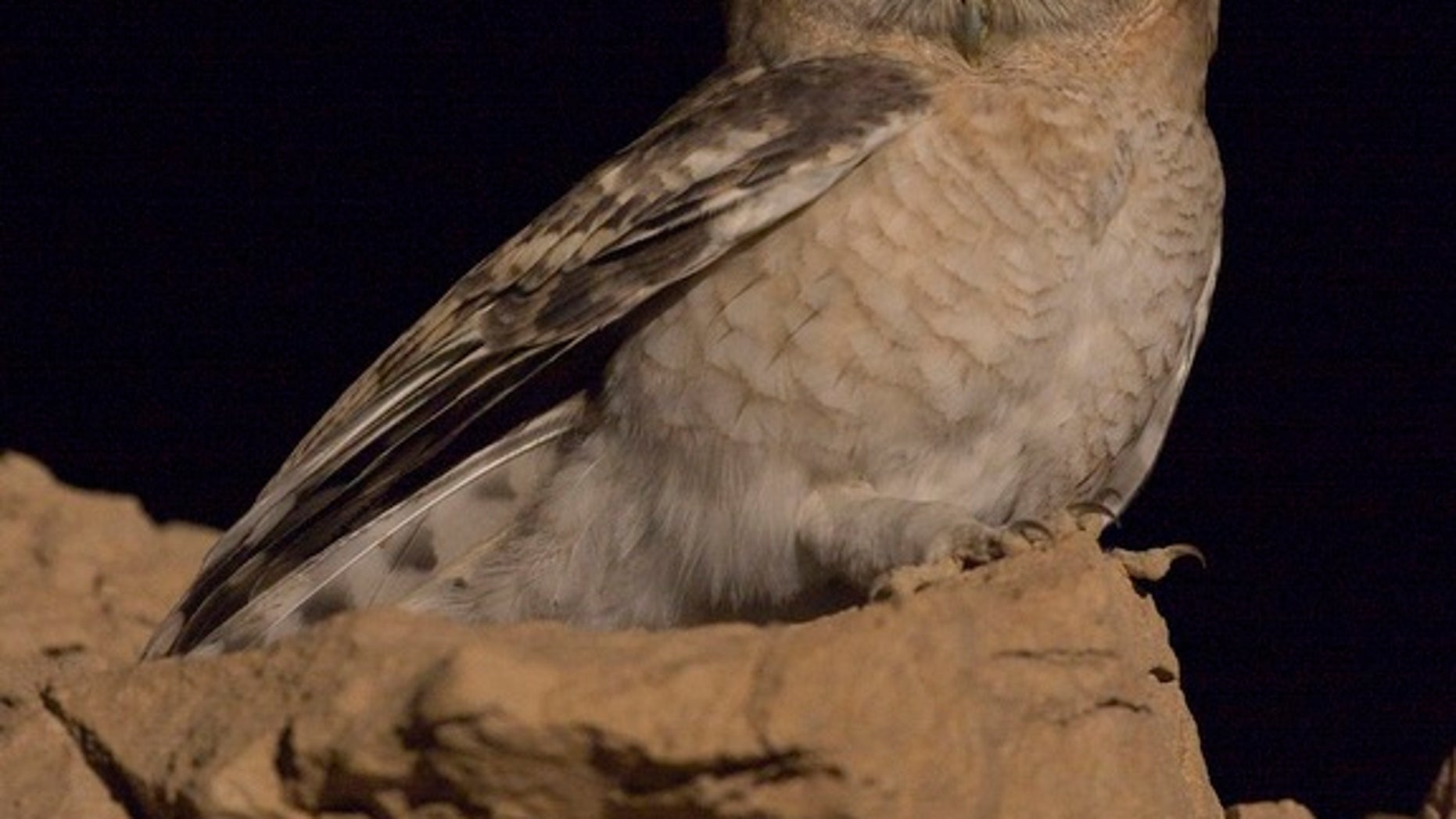 The tawny desert owl (Strix hadorami), once mistaken for another species of owl, lives in Middle Eastern countries, such as Israel, Egypt and Jordan.