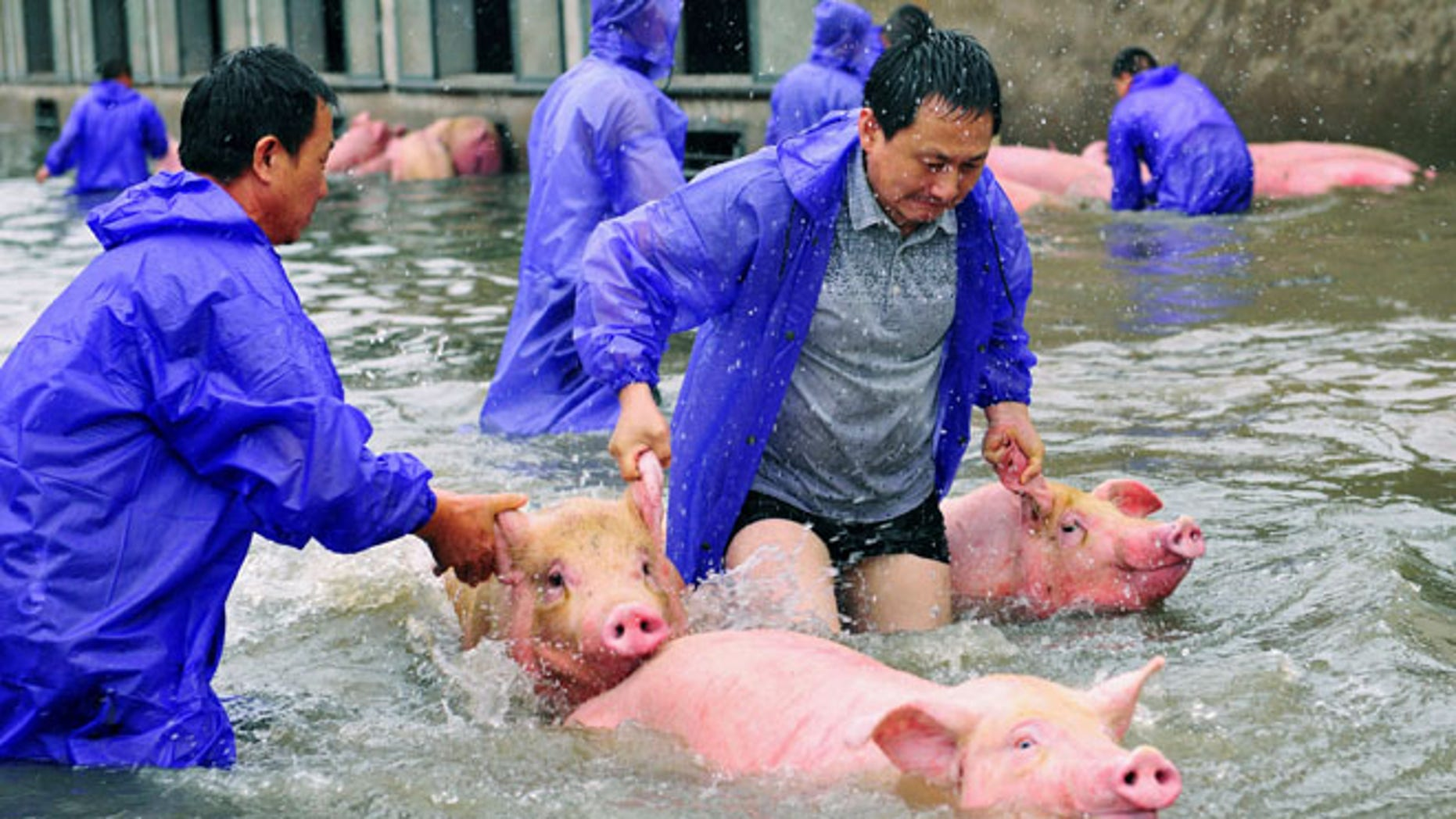 Employees save pigs from a flooded farm in Lu'an, Anhui Province, China