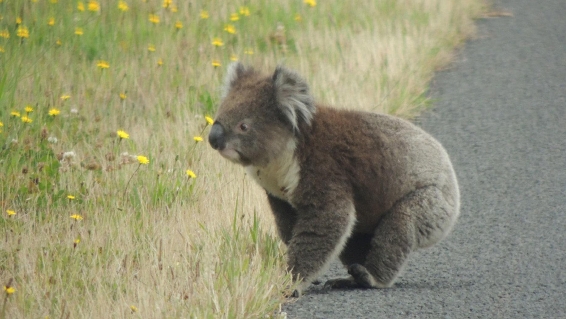 Why did the koala cross the road?